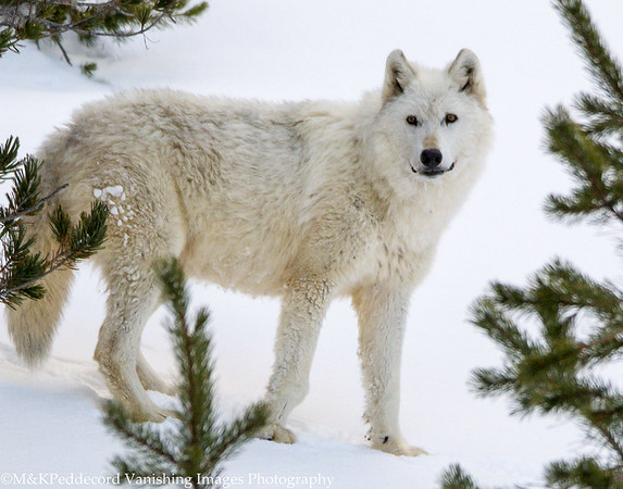 The White Wolf of Yellowstone