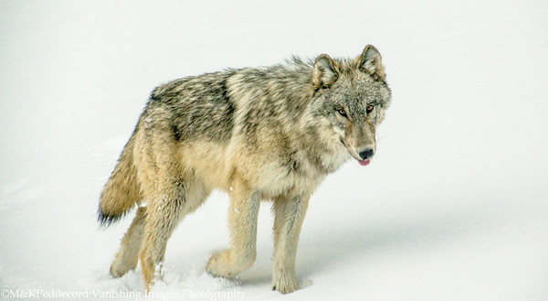 Young wolf, spooked by our snow coach.   Yellowstone NP
