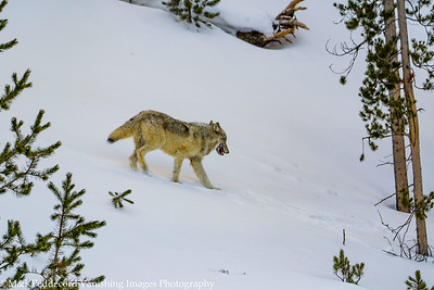 Young wolf follows mom back down to the road