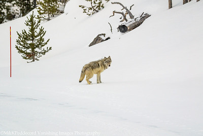 Young Wolf, spooked by tour van leaves snow packed road (marked by red poll, near Firehole River, Yellowstone NP