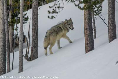 Young wolf, spooked retreats up hill to woods.