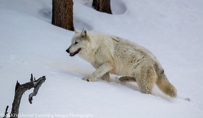 Mother leaves road climbs up hill in deep snow to retrieve young wolf,  near Firehole River, Yellowstone NP