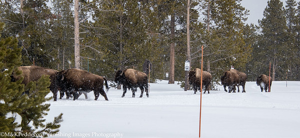 Snowshoe Enccounter with Bison
