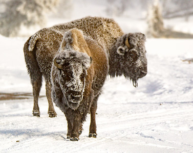 Bison with Rhime Ice