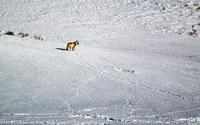 Coyote, Which track to follow?