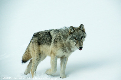 Young Wolf, Canyon Pack,