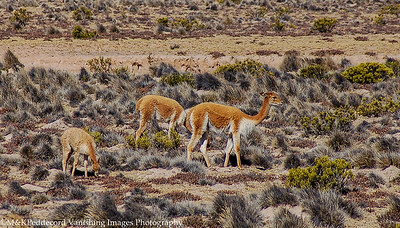 Guanacos (Lama guanicoe) related to more comon domesticated  llama
