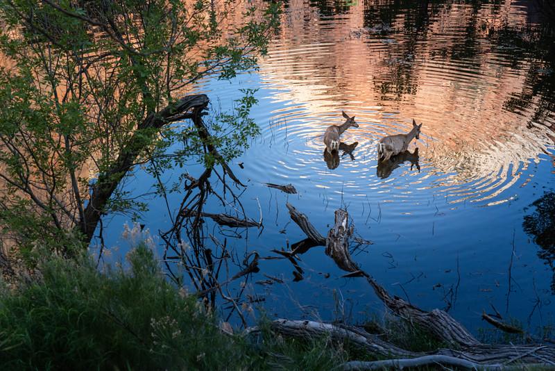 Deer in the Water, Zion Canyon, Utah