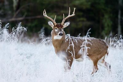 Buck in Frost