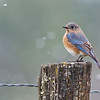 Painterly Bluebird in Snow