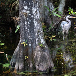 Great Blue Heron, South Florida