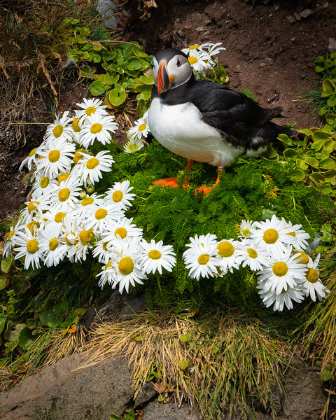 Pufin in the Daisies