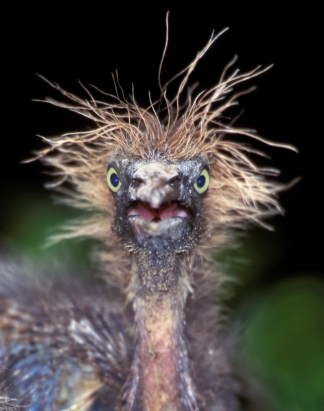 Tricolored heron chick