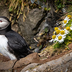 Puffin in the Daisies, Iceland