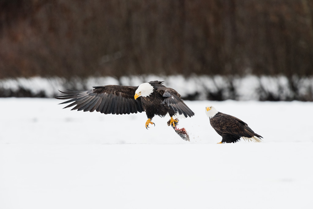 2016 Alaska Chilkat Bald Eagle Preserve, Haines, Alaska
