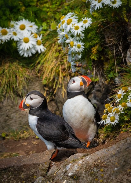 Puffin in the Daisies