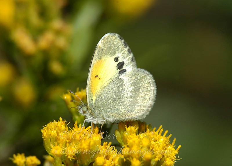 "Dainty Sulphur  © 2006 C. M. Neri Chiracahuas Maountains, AZ DASUAZ  <div class=""ss-paypal-button""><div class=""ss-paypal-add-to-cart-section""><div class=""ss-paypal-product-options""><h4>Mat Sizes</h4><ul><li><a href=""https://www.paypal.com/cgi-bin/webscr?cmd=_cart&business=T77V5VKCW4K2U&lc=US&item_name=Dainty%20Sulphur%20%20%C2%A9%202006%20C.%20M.%20Neri%20Chiracahuas%20Maountains%2C%20AZ%20DASUAZ&item_number=http%3A%2F%2Fwww.nightflightimages.com%2FGalleries-1%2FButterflies%2Fi-3d4gCF7&button_subtype=products&no_note=0&cn=Add%20special%20instructions%20to%20the%20seller%3A&no_shipping=2&currency_code=USD&weight_unit=lbs&add=1&bn=PP-ShopCartBF%3Abtn_cart_SM.gif%3ANonHosted&on0=Mat%20Sizes&option_select0=5%20x%207&option_amount0=10.00&option_select1=8%20x%2010&option_amount1=18.00&option_select2=11%20x%2014&option_amount2=28.00&option_select3=card&option_amount3=4.00&option_index=0&charset=utf-8&submit=&os0=5%20x%207"" target=""paypal""><span>5 x 7 $11.00 USD</span><img src=""https://www.paypalobjects.com/en_US/i/btn/btn_cart_SM.gif""></a></li><li><a href=""https://www.paypal.com/cgi-bin/webscr?cmd=_cart&business=T77V5VKCW4K2U&lc=US&item_name=Dainty%20Sulphur%20%20%C2%A9%202006%20C.%20M.%20Neri%20Chiracahuas%20Maountains%2C%20AZ%20DASUAZ&item_number=http%3A%2F%2Fwww.nightflightimages.com%2FGalleries-1%2FButterflies%2Fi-3d4gCF7&button_subtype=products&no_note=0&cn=Add%20special%20instructions%20to%20the%20seller%3A&no_shipping=2&currency_code=USD&weight_unit=lbs&add=1&bn=PP-ShopCartBF%3Abtn_cart_SM.gif%3ANonHosted&on0=Mat%20Sizes&option_select0=5%20x%207&option_amount0=10.00&option_select1=8%20x%2010&option_amount1=18.00&option_select2=11%20x%2014&option_amount2=28.00&option_select3=card&option_amount3=4.00&option_index=0&charset=utf-8&submit=&os0=8%20x%2010"" target=""paypal""><span>8 x 10 $19.00 USD</span><img src=""https://www.paypalobjects.com/en_US/i/btn/btn_cart_SM.gif""></a></li><li><a href=""https://www.paypal.com/cgi-bin/webscr?cmd=_cart&business=T77V5VKCW4K2U&lc=US&item_name=Dainty%20Sulphur%20%20%C2%A9%202006%20C.%20M.%20Neri%20Chiracahuas%20Maountains%2C%20AZ%20DASUAZ&item_number=http%3A%2F%2Fwww.nightflightimages.com%2FGalleries-1%2FButterflies%2Fi-3d4gCF7&button_subtype=products&no_note=0&cn=Add%20special%20instructions%20to%20the%20seller%3A&no_shipping=2&currency_code=USD&weight_unit=lbs&add=1&bn=PP-ShopCartBF%3Abtn_cart_SM.gif%3ANonHosted&on0=Mat%20Sizes&option_select0=5%20x%207&option_amount0=10.00&option_select1=8%20x%2010&option_amount1=18.00&option_select2=11%20x%2014&option_amount2=28.00&option_select3=card&option_amount3=4.00&option_index=0&charset=utf-8&submit=&os0=11%20x%2014"" target=""paypal""><span>11 x 14 $29.00 USD</span><img src=""https://www.paypalobjects.com/en_US/i/btn/btn_cart_SM.gif""></a></li><li><a href=""https://www.paypal.com/cgi-bin/webscr?cmd=_cart&business=T77V5VKCW4K2U&lc=US&item_name=Dainty%20Sulphur%20%20%C2%A9%202006%20C.%20M.%20Neri%20Chiracahuas%20Maountains%2C%20AZ%20DASUAZ&item_number=http%3A%2F%2Fwww.nightflightimages.com%2FGalleries-1%2FButterflies%2Fi-3d4gCF7&button_subtype=products&no_note=0&cn=Add%20special%20instructions%20to%20the%20seller%3A&no_shipping=2&currency_code=USD&weight_unit=lbs&add=1&bn=PP-ShopCartBF%3Abtn_cart_SM.gif%3ANonHosted&on0=Mat%20Sizes&option_select0=5%20x%207&option_amount0=10.00&option_select1=8%20x%2010&option_amount1=18.00&option_select2=11%20x%2014&option_amount2=28.00&option_select3=card&option_amount3=4.00&option_index=0&charset=utf-8&submit=&os0=card"" target=""paypal""><span>card $5.00 USD</span><img src=""https://www.paypalobjects.com/en_US/i/btn/btn_cart_SM.gif""></a></li></ul></div></div> <div class=""ss-paypal-view-cart-section""><a href=""https://www.paypal.com/cgi-bin/webscr?cmd=_cart&business=T77V5VKCW4K2U&display=1&item_name=Dainty%20Sulphur%20%20%C2%A9%202006%20C.%20M.%20Neri%20Chiracahuas%20Maountains%2C%20AZ%20DASUAZ&item_number=http%3A%2F%2Fwww.nightflightimages.com%2FGalleries-1%2FButterflies%2Fi-3d4gCF7&charset=utf-8&submit="" target=""paypal"" class=""ss-paypal-submit-button""><img src=""https://www.paypalobjects.com/en_US/i/btn/btn_viewcart_LG.gif""></a></div></div><div class=""ss-paypal-button-end""></div>"