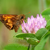 "Hobomok Skipper  © 2013 C. M. Neri Whitefish Point, MI HOSK  <div class=""ss-paypal-button""><div class=""ss-paypal-add-to-cart-section""><div class=""ss-paypal-product-options""><h4>Mat Sizes</h4><ul><li><a href=""https://www.paypal.com/cgi-bin/webscr?cmd=_cart&business=T77V5VKCW4K2U&lc=US&item_name=Hobomok%20Skipper%20%20%C2%A9%202013%20C.%20M.%20Neri%20Whitefish%20Point%2C%20MI%20HOSK&item_number=http%3A%2F%2Fwww.nightflightimages.com%2FGalleries-1%2FButterflies%2Fi-93d9f3F&button_subtype=products&no_note=0&cn=Add%20special%20instructions%20to%20the%20seller%3A&no_shipping=2&currency_code=USD&weight_unit=lbs&add=1&bn=PP-ShopCartBF%3Abtn_cart_SM.gif%3ANonHosted&on0=Mat%20Sizes&option_select0=5%20x%207&option_amount0=10.00&option_select1=8%20x%2010&option_amount1=18.00&option_select2=11%20x%2014&option_amount2=28.00&option_select3=card&option_amount3=4.00&option_index=0&charset=utf-8&submit=&os0=5%20x%207"" target=""paypal""><span>5 x 7 $11.00 USD</span><img src=""https://www.paypalobjects.com/en_US/i/btn/btn_cart_SM.gif""></a></li><li><a href=""https://www.paypal.com/cgi-bin/webscr?cmd=_cart&business=T77V5VKCW4K2U&lc=US&item_name=Hobomok%20Skipper%20%20%C2%A9%202013%20C.%20M.%20Neri%20Whitefish%20Point%2C%20MI%20HOSK&item_number=http%3A%2F%2Fwww.nightflightimages.com%2FGalleries-1%2FButterflies%2Fi-93d9f3F&button_subtype=products&no_note=0&cn=Add%20special%20instructions%20to%20the%20seller%3A&no_shipping=2&currency_code=USD&weight_unit=lbs&add=1&bn=PP-ShopCartBF%3Abtn_cart_SM.gif%3ANonHosted&on0=Mat%20Sizes&option_select0=5%20x%207&option_amount0=10.00&option_select1=8%20x%2010&option_amount1=18.00&option_select2=11%20x%2014&option_amount2=28.00&option_select3=card&option_amount3=4.00&option_index=0&charset=utf-8&submit=&os0=8%20x%2010"" target=""paypal""><span>8 x 10 $19.00 USD</span><img src=""https://www.paypalobjects.com/en_US/i/btn/btn_cart_SM.gif""></a></li><li><a href=""https://www.paypal.com/cgi-bin/webscr?cmd=_cart&business=T77V5VKCW4K2U&lc=US&item_name=Hobomok%20Skipper%20%20%C2%A9%202013%20C.%20M.%20Neri%20Whitefish%20Point%2C%20MI%20HOSK&item_number=http%3A%2F%2Fwww.nightflightimages.com%2FGalleries-1%2FButterflies%2Fi-93d9f3F&button_subtype=products&no_note=0&cn=Add%20special%20instructions%20to%20the%20seller%3A&no_shipping=2&currency_code=USD&weight_unit=lbs&add=1&bn=PP-ShopCartBF%3Abtn_cart_SM.gif%3ANonHosted&on0=Mat%20Sizes&option_select0=5%20x%207&option_amount0=10.00&option_select1=8%20x%2010&option_amount1=18.00&option_select2=11%20x%2014&option_amount2=28.00&option_select3=card&option_amount3=4.00&option_index=0&charset=utf-8&submit=&os0=11%20x%2014"" target=""paypal""><span>11 x 14 $29.00 USD</span><img src=""https://www.paypalobjects.com/en_US/i/btn/btn_cart_SM.gif""></a></li><li><a href=""https://www.paypal.com/cgi-bin/webscr?cmd=_cart&business=T77V5VKCW4K2U&lc=US&item_name=Hobomok%20Skipper%20%20%C2%A9%202013%20C.%20M.%20Neri%20Whitefish%20Point%2C%20MI%20HOSK&item_number=http%3A%2F%2Fwww.nightflightimages.com%2FGalleries-1%2FButterflies%2Fi-93d9f3F&button_subtype=products&no_note=0&cn=Add%20special%20instructions%20to%20the%20seller%3A&no_shipping=2&currency_code=USD&weight_unit=lbs&add=1&bn=PP-ShopCartBF%3Abtn_cart_SM.gif%3ANonHosted&on0=Mat%20Sizes&option_select0=5%20x%207&option_amount0=10.00&option_select1=8%20x%2010&option_amount1=18.00&option_select2=11%20x%2014&option_amount2=28.00&option_select3=card&option_amount3=4.00&option_index=0&charset=utf-8&submit=&os0=card"" target=""paypal""><span>card $5.00 USD</span><img src=""https://www.paypalobjects.com/en_US/i/btn/btn_cart_SM.gif""></a></li></ul></div></div> <div class=""ss-paypal-view-cart-section""><a href=""https://www.paypal.com/cgi-bin/webscr?cmd=_cart&business=T77V5VKCW4K2U&display=1&item_name=Hobomok%20Skipper%20%20%C2%A9%202013%20C.%20M.%20Neri%20Whitefish%20Point%2C%20MI%20HOSK&item_number=http%3A%2F%2Fwww.nightflightimages.com%2FGalleries-1%2FButterflies%2Fi-93d9f3F&charset=utf-8&submit="" target=""paypal"" class=""ss-paypal-submit-button""><img src=""https://www.paypalobjects.com/en_US/i/btn/btn_viewcart_LG.gif""></a></div></div><div class=""ss-paypal-button-end""></div>"