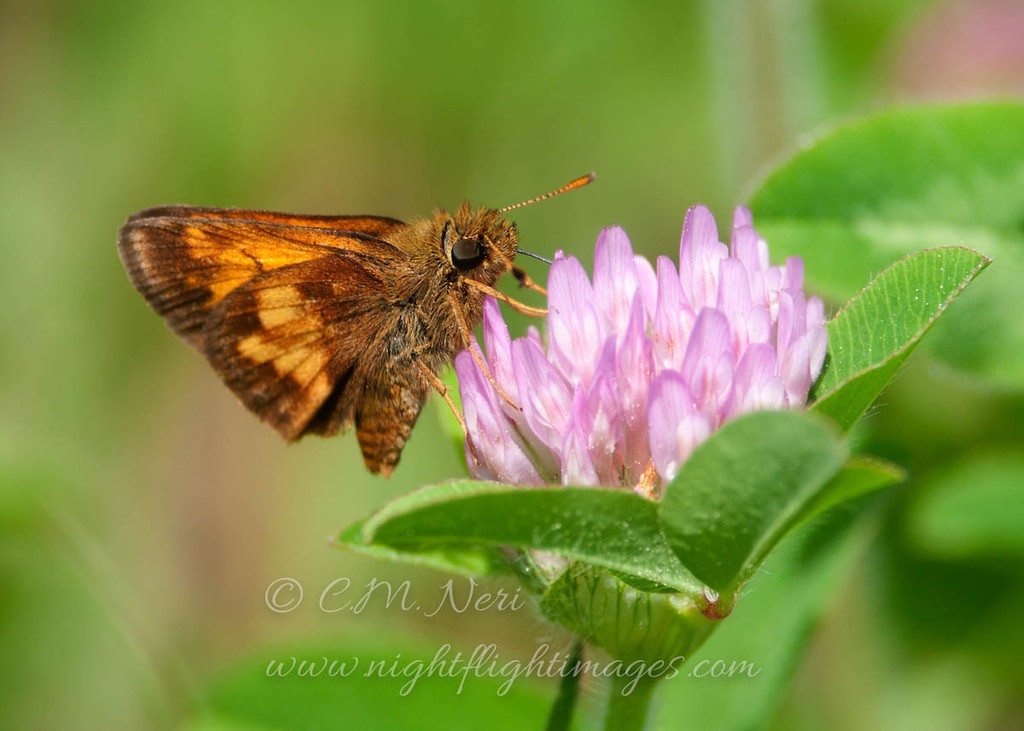 """Hobomok Skipper  © 2013 C. M. Neri Whitefish Point, MI HOSK  <div class=""""ss-paypal-button""""><div class=""""ss-paypal-add-to-cart-section""""><div class=""""ss-paypal-product-options""""><h4>Mat Sizes</h4><ul><li><a href=""""https://www.paypal.com/cgi-bin/webscr?cmd=_cart&business=T77V5VKCW4K2U&lc=US&item_name=Hobomok%20Skipper%20%20%C2%A9%202013%20C.%20M.%20Neri%20Whitefish%20Point%2C%20MI%20HOSK&item_number=http%3A%2F%2Fwww.nightflightimages.com%2FGalleries-1%2FButterflies%2Fi-93d9f3F&button_subtype=products&no_note=0&cn=Add%20special%20instructions%20to%20the%20seller%3A&no_shipping=2&currency_code=USD&weight_unit=lbs&add=1&bn=PP-ShopCartBF%3Abtn_cart_SM.gif%3ANonHosted&on0=Mat%20Sizes&option_select0=5%20x%207&option_amount0=10.00&option_select1=8%20x%2010&option_amount1=18.00&option_select2=11%20x%2014&option_amount2=28.00&option_select3=card&option_amount3=4.00&option_index=0&charset=utf-8&submit=&os0=5%20x%207"""" target=""""paypal""""><span>5 x 7 $11.00 USD</span><img src=""""https://www.paypalobjects.com/en_US/i/btn/btn_cart_SM.gif""""></a></li><li><a href=""""https://www.paypal.com/cgi-bin/webscr?cmd=_cart&business=T77V5VKCW4K2U&lc=US&item_name=Hobomok%20Skipper%20%20%C2%A9%202013%20C.%20M.%20Neri%20Whitefish%20Point%2C%20MI%20HOSK&item_number=http%3A%2F%2Fwww.nightflightimages.com%2FGalleries-1%2FButterflies%2Fi-93d9f3F&button_subtype=products&no_note=0&cn=Add%20special%20instructions%20to%20the%20seller%3A&no_shipping=2&currency_code=USD&weight_unit=lbs&add=1&bn=PP-ShopCartBF%3Abtn_cart_SM.gif%3ANonHosted&on0=Mat%20Sizes&option_select0=5%20x%207&option_amount0=10.00&option_select1=8%20x%2010&option_amount1=18.00&option_select2=11%20x%2014&option_amount2=28.00&option_select3=card&option_amount3=4.00&option_index=0&charset=utf-8&submit=&os0=8%20x%2010"""" target=""""paypal""""><span>8 x 10 $19.00 USD</span><img src=""""https://www.paypalobjects.com/en_US/i/btn/btn_cart_SM.gif""""></a></li><li><a href=""""https://www.paypal.com/cgi-bin/webscr?cmd=_cart&business=T77V5VKCW4K2U&lc=US&item_name=Hobomok%20Skipper%2"""