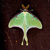 "Luna Moth © 2000 C. M. Neri Hiawatha National Forest, MI LUNA  <div class=""ss-paypal-button""><div class=""ss-paypal-add-to-cart-section""><div class=""ss-paypal-product-options""><h4>Mat Sizes</h4><ul><li><a href=""https://www.paypal.com/cgi-bin/webscr?cmd=_cart&business=T77V5VKCW4K2U&lc=US&item_name=Luna%20Moth%20%C2%A9%202000%20C.%20M.%20Neri%20Hiawatha%20National%20Forest%2C%20MI%20LUNA&item_number=http%3A%2F%2Fwww.nightflightimages.com%2FGalleries-1%2FButterflies%2Fi-H8SDVTV&button_subtype=products&no_note=0&cn=Add%20special%20instructions%20to%20the%20seller%3A&no_shipping=2&currency_code=USD&weight_unit=lbs&add=1&bn=PP-ShopCartBF%3Abtn_cart_SM.gif%3ANonHosted&on0=Mat%20Sizes&option_select0=5%20x%207&option_amount0=10.00&option_select1=8%20x%2010&option_amount1=18.00&option_select2=11%20x%2014&option_amount2=28.00&option_select3=card&option_amount3=4.00&option_index=0&charset=utf-8&submit=&os0=5%20x%207"" target=""paypal""><span>5 x 7 $11.00 USD</span><img src=""https://www.paypalobjects.com/en_US/i/btn/btn_cart_SM.gif""></a></li><li><a href=""https://www.paypal.com/cgi-bin/webscr?cmd=_cart&business=T77V5VKCW4K2U&lc=US&item_name=Luna%20Moth%20%C2%A9%202000%20C.%20M.%20Neri%20Hiawatha%20National%20Forest%2C%20MI%20LUNA&item_number=http%3A%2F%2Fwww.nightflightimages.com%2FGalleries-1%2FButterflies%2Fi-H8SDVTV&button_subtype=products&no_note=0&cn=Add%20special%20instructions%20to%20the%20seller%3A&no_shipping=2&currency_code=USD&weight_unit=lbs&add=1&bn=PP-ShopCartBF%3Abtn_cart_SM.gif%3ANonHosted&on0=Mat%20Sizes&option_select0=5%20x%207&option_amount0=10.00&option_select1=8%20x%2010&option_amount1=18.00&option_select2=11%20x%2014&option_amount2=28.00&option_select3=card&option_amount3=4.00&option_index=0&charset=utf-8&submit=&os0=8%20x%2010"" target=""paypal""><span>8 x 10 $19.00 USD</span><img src=""https://www.paypalobjects.com/en_US/i/btn/btn_cart_SM.gif""></a></li><li><a href=""https://www.paypal.com/cgi-bin/webscr?cmd=_cart&business=T77V5VKCW4K2U&lc=US&item_name=Luna%20Moth%20%C2%A9%202000%20C.%20M.%20Neri%20Hiawatha%20National%20Forest%2C%20MI%20LUNA&item_number=http%3A%2F%2Fwww.nightflightimages.com%2FGalleries-1%2FButterflies%2Fi-H8SDVTV&button_subtype=products&no_note=0&cn=Add%20special%20instructions%20to%20the%20seller%3A&no_shipping=2&currency_code=USD&weight_unit=lbs&add=1&bn=PP-ShopCartBF%3Abtn_cart_SM.gif%3ANonHosted&on0=Mat%20Sizes&option_select0=5%20x%207&option_amount0=10.00&option_select1=8%20x%2010&option_amount1=18.00&option_select2=11%20x%2014&option_amount2=28.00&option_select3=card&option_amount3=4.00&option_index=0&charset=utf-8&submit=&os0=11%20x%2014"" target=""paypal""><span>11 x 14 $29.00 USD</span><img src=""https://www.paypalobjects.com/en_US/i/btn/btn_cart_SM.gif""></a></li><li><a href=""https://www.paypal.com/cgi-bin/webscr?cmd=_cart&business=T77V5VKCW4K2U&lc=US&item_name=Luna%20Moth%20%C2%A9%202000%20C.%20M.%20Neri%20Hiawatha%20National%20Forest%2C%20MI%20LUNA&item_number=http%3A%2F%2Fwww.nightflightimages.com%2FGalleries-1%2FButterflies%2Fi-H8SDVTV&button_subtype=products&no_note=0&cn=Add%20special%20instructions%20to%20the%20seller%3A&no_shipping=2&currency_code=USD&weight_unit=lbs&add=1&bn=PP-ShopCartBF%3Abtn_cart_SM.gif%3ANonHosted&on0=Mat%20Sizes&option_select0=5%20x%207&option_amount0=10.00&option_select1=8%20x%2010&option_amount1=18.00&option_select2=11%20x%2014&option_amount2=28.00&option_select3=card&option_amount3=4.00&option_index=0&charset=utf-8&submit=&os0=card"" target=""paypal""><span>card $5.00 USD</span><img src=""https://www.paypalobjects.com/en_US/i/btn/btn_cart_SM.gif""></a></li></ul></div></div> <div class=""ss-paypal-view-cart-section""><a href=""https://www.paypal.com/cgi-bin/webscr?cmd=_cart&business=T77V5VKCW4K2U&display=1&item_name=Luna%20Moth%20%C2%A9%202000%20C.%20M.%20Neri%20Hiawatha%20National%20Forest%2C%20MI%20LUNA&item_number=http%3A%2F%2Fwww.nightflightimages.com%2FGalleries-1%2FButterflies%2Fi-H8SDVTV&charset=utf-8&submit="" target=""paypal"" class=""ss-paypal-submit-button""><img src=""https://www.paypalobjects.com/en_US/i/btn/btn_viewcart_LG.gif""></a></div></div><div class=""ss-paypal-button-end""></div>"