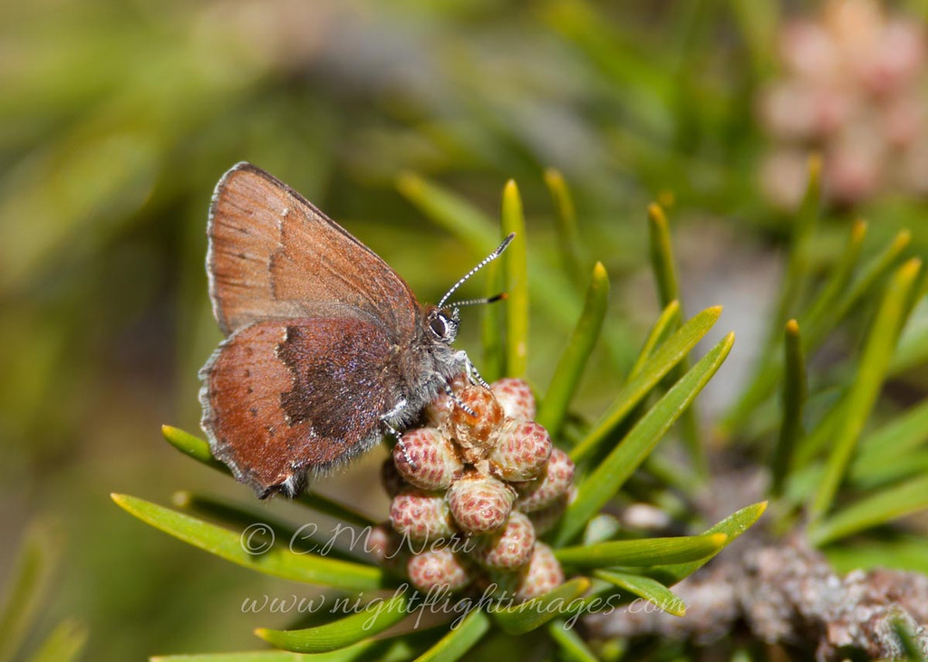 """Brown Elfin  © 2013 C. M. Neri Whitefish Point, MI BELFIN13  <div class=""""ss-paypal-button""""><div class=""""ss-paypal-add-to-cart-section""""><div class=""""ss-paypal-product-options""""><h4>Mat Sizes</h4><ul><li><a href=""""https://www.paypal.com/cgi-bin/webscr?cmd=_cart&business=T77V5VKCW4K2U&lc=US&item_name=Brown%20Elfin%20%20%C2%A9%202013%20C.%20M.%20Neri%20Whitefish%20Point%2C%20MI%20BELFIN13&item_number=http%3A%2F%2Fwww.nightflightimages.com%2FGalleries-1%2FButterflies%2Fi-RJrJ46d&button_subtype=products&no_note=0&cn=Add%20special%20instructions%20to%20the%20seller%3A&no_shipping=2&currency_code=USD&weight_unit=lbs&add=1&bn=PP-ShopCartBF%3Abtn_cart_SM.gif%3ANonHosted&on0=Mat%20Sizes&option_select0=5%20x%207&option_amount0=10.00&option_select1=8%20x%2010&option_amount1=18.00&option_select2=11%20x%2014&option_amount2=28.00&option_select3=card&option_amount3=4.00&option_index=0&charset=utf-8&submit=&os0=5%20x%207"""" target=""""paypal""""><span>5 x 7 $11.00 USD</span><img src=""""https://www.paypalobjects.com/en_US/i/btn/btn_cart_SM.gif""""></a></li><li><a href=""""https://www.paypal.com/cgi-bin/webscr?cmd=_cart&business=T77V5VKCW4K2U&lc=US&item_name=Brown%20Elfin%20%20%C2%A9%202013%20C.%20M.%20Neri%20Whitefish%20Point%2C%20MI%20BELFIN13&item_number=http%3A%2F%2Fwww.nightflightimages.com%2FGalleries-1%2FButterflies%2Fi-RJrJ46d&button_subtype=products&no_note=0&cn=Add%20special%20instructions%20to%20the%20seller%3A&no_shipping=2&currency_code=USD&weight_unit=lbs&add=1&bn=PP-ShopCartBF%3Abtn_cart_SM.gif%3ANonHosted&on0=Mat%20Sizes&option_select0=5%20x%207&option_amount0=10.00&option_select1=8%20x%2010&option_amount1=18.00&option_select2=11%20x%2014&option_amount2=28.00&option_select3=card&option_amount3=4.00&option_index=0&charset=utf-8&submit=&os0=8%20x%2010"""" target=""""paypal""""><span>8 x 10 $19.00 USD</span><img src=""""https://www.paypalobjects.com/en_US/i/btn/btn_cart_SM.gif""""></a></li><li><a href=""""https://www.paypal.com/cgi-bin/webscr?cmd=_cart&business=T77V5VKCW4K2U&lc=US&item_name=Brown%20Elfin%20%20"""