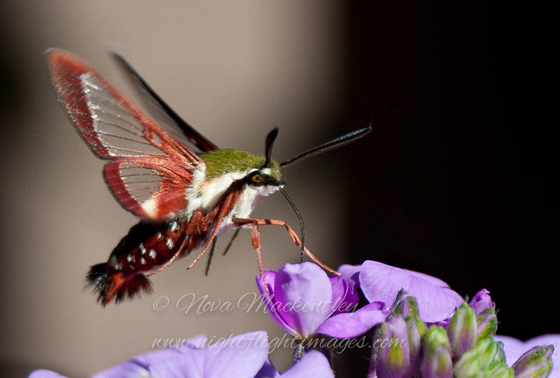 "Clear-winged Sphinx Moth 1 © 2012 Nova Mackentley Whitefish Point, MI CWS  <div class=""ss-paypal-button""><div class=""ss-paypal-add-to-cart-section""><div class=""ss-paypal-product-options""><h4>Mat Sizes</h4><ul><li><a href=""https://www.paypal.com/cgi-bin/webscr?cmd=_cart&amp;business=T77V5VKCW4K2U&amp;lc=US&amp;item_name=Clear-winged%20Sphinx%20Moth%201%20%C2%A9%202012%20Nova%20Mackentley%20Whitefish%20Point%2C%20MI%20CWS&amp;item_number=http%3A%2F%2Fwww.nightflightimages.com%2FGalleries-1%2FButterflies%2Fi-WKjfKkX&amp;button_subtype=products&amp;no_note=0&amp;cn=Add%20special%20instructions%20to%20the%20seller%3A&amp;no_shipping=2&amp;currency_code=USD&amp;weight_unit=lbs&amp;add=1&amp;bn=PP-ShopCartBF%3Abtn_cart_SM.gif%3ANonHosted&amp;on0=Mat%20Sizes&amp;option_select0=5%20x%207&amp;option_amount0=10.00&amp;option_select1=8%20x%2010&amp;option_amount1=18.00&amp;option_select2=11%20x%2014&amp;option_amount2=28.00&amp;option_select3=card&amp;option_amount3=4.00&amp;option_index=0&amp;charset=utf-8&amp;submit=&amp;os0=5%20x%207"" target=""paypal""><span>5 x 7 $11.00 USD</span><img src=""https://www.paypalobjects.com/en_US/i/btn/btn_cart_SM.gif""></a></li><li><a href=""https://www.paypal.com/cgi-bin/webscr?cmd=_cart&amp;business=T77V5VKCW4K2U&amp;lc=US&amp;item_name=Clear-winged%20Sphinx%20Moth%201%20%C2%A9%202012%20Nova%20Mackentley%20Whitefish%20Point%2C%20MI%20CWS&amp;item_number=http%3A%2F%2Fwww.nightflightimages.com%2FGalleries-1%2FButterflies%2Fi-WKjfKkX&amp;button_subtype=products&amp;no_note=0&amp;cn=Add%20special%20instructions%20to%20the%20seller%3A&amp;no_shipping=2&amp;currency_code=USD&amp;weight_unit=lbs&amp;add=1&amp;bn=PP-ShopCartBF%3Abtn_cart_SM.gif%3ANonHosted&amp;on0=Mat%20Sizes&amp;option_select0=5%20x%207&amp;option_amount0=10.00&amp;option_select1=8%20x%2010&amp;option_amount1=18.00&amp;option_select2=11%20x%2014&amp;option_amount2=28.00&amp;option_select3=card&amp;option_amount3=4.00&amp;option_index=0&amp;charset=utf-8&amp;submit=&amp;os0=8%20x%2010"" target=""paypal""><span>8 x 10 $19.00 USD</span><img src=""https://www.paypalobjects.com/en_US/i/btn/btn_cart_SM.gif""></a></li><li><a href=""https://www.paypal.com/cgi-bin/webscr?cmd=_cart&amp;business=T77V5VKCW4K2U&amp;lc=US&amp;item_name=Clear-winged%20Sphinx%20Moth%201%20%C2%A9%202012%20Nova%20Mackentley%20Whitefish%20Point%2C%20MI%20CWS&amp;item_number=http%3A%2F%2Fwww.nightflightimages.com%2FGalleries-1%2FButterflies%2Fi-WKjfKkX&amp;button_subtype=products&amp;no_note=0&amp;cn=Add%20special%20instructions%20to%20the%20seller%3A&amp;no_shipping=2&amp;currency_code=USD&amp;weight_unit=lbs&amp;add=1&amp;bn=PP-ShopCartBF%3Abtn_cart_SM.gif%3ANonHosted&amp;on0=Mat%20Sizes&amp;option_select0=5%20x%207&amp;option_amount0=10.00&amp;option_select1=8%20x%2010&amp;option_amount1=18.00&amp;option_select2=11%20x%2014&amp;option_amount2=28.00&amp;option_select3=card&amp;option_amount3=4.00&amp;option_index=0&amp;charset=utf-8&amp;submit=&amp;os0=11%20x%2014"" target=""paypal""><span>11 x 14 $29.00 USD</span><img src=""https://www.paypalobjects.com/en_US/i/btn/btn_cart_SM.gif""></a></li><li><a href=""https://www.paypal.com/cgi-bin/webscr?cmd=_cart&amp;business=T77V5VKCW4K2U&amp;lc=US&amp;item_name=Clear-winged%20Sphinx%20Moth%201%20%C2%A9%202012%20Nova%20Mackentley%20Whitefish%20Point%2C%20MI%20CWS&amp;item_number=http%3A%2F%2Fwww.nightflightimages.com%2FGalleries-1%2FButterflies%2Fi-WKjfKkX&amp;button_subtype=products&amp;no_note=0&amp;cn=Add%20special%20instructions%20to%20the%20seller%3A&amp;no_shipping=2&amp;currency_code=USD&amp;weight_unit=lbs&amp;add=1&amp;bn=PP-ShopCartBF%3Abtn_cart_SM.gif%3ANonHosted&amp;on0=Mat%20Sizes&amp;option_select0=5%20x%207&amp;option_amount0=10.00&amp;option_select1=8%20x%2010&amp;option_amount1=18.00&amp;option_select2=11%20x%2014&amp;option_amount2=28.00&amp;option_select3=card&amp;option_amount3=4.00&amp;option_index=0&amp;charset=utf-8&amp;submit=&amp;os0=card"" target=""paypal""><span>card $5.00 USD</span><img src=""https://www.paypalobjects.com/en_US/i/btn/btn_cart_SM.gif""></a></li></ul></div></div> <div class=""ss-paypal-view-cart-section""><a href=""https://www.paypal.com/cgi-bin/webscr?cmd=_cart&amp;business=T77V5VKCW4K2U&amp;display=1&amp;item_name=Clear-winged%20Sphinx%20Moth%201%20%C2%A9%202012%20Nova%20Mackentley%20Whitefish%20Point%2C%20MI%20CWS&amp;item_number=http%3A%2F%2Fwww.nightflightimages.com%2FGalleries-1%2FButterflies%2Fi-WKjfKkX&amp;charset=utf-8&amp;submit="" target=""paypal"" class=""ss-paypal-submit-button""><img src=""https://www.paypalobjects.com/en_US/i/btn/btn_viewcart_LG.gif""></a></div></div><div class=""ss-paypal-button-end""></div>"