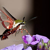 "Clear-winged Sphinx Moth 1 © 2012 Nova Mackentley Whitefish Point, MI CWS  <div class=""ss-paypal-button""><div class=""ss-paypal-add-to-cart-section""><div class=""ss-paypal-product-options""><h4>Mat Sizes</h4><ul><li><a href=""https://www.paypal.com/cgi-bin/webscr?cmd=_cart&business=T77V5VKCW4K2U&lc=US&item_name=Clear-winged%20Sphinx%20Moth%201%20%C2%A9%202012%20Nova%20Mackentley%20Whitefish%20Point%2C%20MI%20CWS&item_number=http%3A%2F%2Fwww.nightflightimages.com%2FGalleries-1%2FButterflies%2Fi-WKjfKkX&button_subtype=products&no_note=0&cn=Add%20special%20instructions%20to%20the%20seller%3A&no_shipping=2&currency_code=USD&weight_unit=lbs&add=1&bn=PP-ShopCartBF%3Abtn_cart_SM.gif%3ANonHosted&on0=Mat%20Sizes&option_select0=5%20x%207&option_amount0=10.00&option_select1=8%20x%2010&option_amount1=18.00&option_select2=11%20x%2014&option_amount2=28.00&option_select3=card&option_amount3=4.00&option_index=0&charset=utf-8&submit=&os0=5%20x%207"" target=""paypal""><span>5 x 7 $11.00 USD</span><img src=""https://www.paypalobjects.com/en_US/i/btn/btn_cart_SM.gif""></a></li><li><a href=""https://www.paypal.com/cgi-bin/webscr?cmd=_cart&business=T77V5VKCW4K2U&lc=US&item_name=Clear-winged%20Sphinx%20Moth%201%20%C2%A9%202012%20Nova%20Mackentley%20Whitefish%20Point%2C%20MI%20CWS&item_number=http%3A%2F%2Fwww.nightflightimages.com%2FGalleries-1%2FButterflies%2Fi-WKjfKkX&button_subtype=products&no_note=0&cn=Add%20special%20instructions%20to%20the%20seller%3A&no_shipping=2&currency_code=USD&weight_unit=lbs&add=1&bn=PP-ShopCartBF%3Abtn_cart_SM.gif%3ANonHosted&on0=Mat%20Sizes&option_select0=5%20x%207&option_amount0=10.00&option_select1=8%20x%2010&option_amount1=18.00&option_select2=11%20x%2014&option_amount2=28.00&option_select3=card&option_amount3=4.00&option_index=0&charset=utf-8&submit=&os0=8%20x%2010"" target=""paypal""><span>8 x 10 $19.00 USD</span><img src=""https://www.paypalobjects.com/en_US/i/btn/btn_cart_SM.gif""></a></li><li><a href=""https://www.paypal.com/cgi-bin/webscr?cmd=_cart&business=T77V5VKCW4K2U&lc=US&item_name=Clear-winged%20Sphinx%20Moth%201%20%C2%A9%202012%20Nova%20Mackentley%20Whitefish%20Point%2C%20MI%20CWS&item_number=http%3A%2F%2Fwww.nightflightimages.com%2FGalleries-1%2FButterflies%2Fi-WKjfKkX&button_subtype=products&no_note=0&cn=Add%20special%20instructions%20to%20the%20seller%3A&no_shipping=2&currency_code=USD&weight_unit=lbs&add=1&bn=PP-ShopCartBF%3Abtn_cart_SM.gif%3ANonHosted&on0=Mat%20Sizes&option_select0=5%20x%207&option_amount0=10.00&option_select1=8%20x%2010&option_amount1=18.00&option_select2=11%20x%2014&option_amount2=28.00&option_select3=card&option_amount3=4.00&option_index=0&charset=utf-8&submit=&os0=11%20x%2014"" target=""paypal""><span>11 x 14 $29.00 USD</span><img src=""https://www.paypalobjects.com/en_US/i/btn/btn_cart_SM.gif""></a></li><li><a href=""https://www.paypal.com/cgi-bin/webscr?cmd=_cart&business=T77V5VKCW4K2U&lc=US&item_name=Clear-winged%20Sphinx%20Moth%201%20%C2%A9%202012%20Nova%20Mackentley%20Whitefish%20Point%2C%20MI%20CWS&item_number=http%3A%2F%2Fwww.nightflightimages.com%2FGalleries-1%2FButterflies%2Fi-WKjfKkX&button_subtype=products&no_note=0&cn=Add%20special%20instructions%20to%20the%20seller%3A&no_shipping=2&currency_code=USD&weight_unit=lbs&add=1&bn=PP-ShopCartBF%3Abtn_cart_SM.gif%3ANonHosted&on0=Mat%20Sizes&option_select0=5%20x%207&option_amount0=10.00&option_select1=8%20x%2010&option_amount1=18.00&option_select2=11%20x%2014&option_amount2=28.00&option_select3=card&option_amount3=4.00&option_index=0&charset=utf-8&submit=&os0=card"" target=""paypal""><span>card $5.00 USD</span><img src=""https://www.paypalobjects.com/en_US/i/btn/btn_cart_SM.gif""></a></li></ul></div></div> <div class=""ss-paypal-view-cart-section""><a href=""https://www.paypal.com/cgi-bin/webscr?cmd=_cart&business=T77V5VKCW4K2U&display=1&item_name=Clear-winged%20Sphinx%20Moth%201%20%C2%A9%202012%20Nova%20Mackentley%20Whitefish%20Point%2C%20MI%20CWS&item_number=http%3A%2F%2Fwww.nightflightimages.com%2FGalleries-1%2FButterflies%2Fi-WKjfKkX&charset=utf-8&submit="" target=""paypal"" class=""ss-paypal-submit-button""><img src=""https://www.paypalobjects.com/en_US/i/btn/btn_viewcart_LG.gif""></a></div></div><div class=""ss-paypal-button-end""></div>"