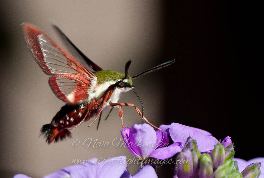 """Clear-winged Sphinx Moth 1 © 2012 Nova Mackentley Whitefish Point, MI CWS  <div class=""""ss-paypal-button""""><div class=""""ss-paypal-add-to-cart-section""""><div class=""""ss-paypal-product-options""""><h4>Mat Sizes</h4><ul><li><a href=""""https://www.paypal.com/cgi-bin/webscr?cmd=_cart&business=T77V5VKCW4K2U&lc=US&item_name=Clear-winged%20Sphinx%20Moth%201%20%C2%A9%202012%20Nova%20Mackentley%20Whitefish%20Point%2C%20MI%20CWS&item_number=http%3A%2F%2Fwww.nightflightimages.com%2FGalleries-1%2FButterflies%2Fi-WKjfKkX&button_subtype=products&no_note=0&cn=Add%20special%20instructions%20to%20the%20seller%3A&no_shipping=2&currency_code=USD&weight_unit=lbs&add=1&bn=PP-ShopCartBF%3Abtn_cart_SM.gif%3ANonHosted&on0=Mat%20Sizes&option_select0=5%20x%207&option_amount0=10.00&option_select1=8%20x%2010&option_amount1=18.00&option_select2=11%20x%2014&option_amount2=28.00&option_select3=card&option_amount3=4.00&option_index=0&charset=utf-8&submit=&os0=5%20x%207"""" target=""""paypal""""><span>5 x 7 $11.00 USD</span><img src=""""https://www.paypalobjects.com/en_US/i/btn/btn_cart_SM.gif""""></a></li><li><a href=""""https://www.paypal.com/cgi-bin/webscr?cmd=_cart&business=T77V5VKCW4K2U&lc=US&item_name=Clear-winged%20Sphinx%20Moth%201%20%C2%A9%202012%20Nova%20Mackentley%20Whitefish%20Point%2C%20MI%20CWS&item_number=http%3A%2F%2Fwww.nightflightimages.com%2FGalleries-1%2FButterflies%2Fi-WKjfKkX&button_subtype=products&no_note=0&cn=Add%20special%20instructions%20to%20the%20seller%3A&no_shipping=2&currency_code=USD&weight_unit=lbs&add=1&bn=PP-ShopCartBF%3Abtn_cart_SM.gif%3ANonHosted&on0=Mat%20Sizes&option_select0=5%20x%207&option_amount0=10.00&option_select1=8%20x%2010&option_amount1=18.00&option_select2=11%20x%2014&option_amount2=28.00&option_select3=card&option_amount3=4.00&option_index=0&charset=utf-8&submit=&os0=8%20x%2010"""" target=""""paypal""""><span>8 x 10 $19.00 USD</span><img src=""""https://www.paypalobjects.com/en_US/i/btn/btn_cart_SM.gif""""></a></li><li><a href=""""https://www.paypal.com/cgi-bin/webscr?cmd=_cart&business=T77V5VK"""