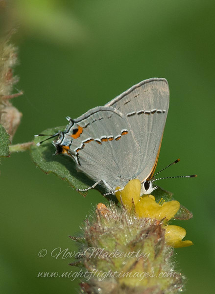 """Gray Hairstreak © 2009 Nova Mackentley Laguna Atascosa NWR, TX GHA  <div class=""""ss-paypal-button""""><div class=""""ss-paypal-add-to-cart-section""""><div class=""""ss-paypal-product-options""""><h4>Mat Sizes</h4><ul><li><a href=""""https://www.paypal.com/cgi-bin/webscr?cmd=_cart&business=T77V5VKCW4K2U&lc=US&item_name=Gray%20Hairstreak%20%C2%A9%202009%20Nova%20Mackentley%20Laguna%20Atascosa%20NWR%2C%20TX%20GHA&item_number=http%3A%2F%2Fwww.nightflightimages.com%2FGalleries-1%2FButterflies%2Fi-WQjSx85&button_subtype=products&no_note=0&cn=Add%20special%20instructions%20to%20the%20seller%3A&no_shipping=2&currency_code=USD&weight_unit=lbs&add=1&bn=PP-ShopCartBF%3Abtn_cart_SM.gif%3ANonHosted&on0=Mat%20Sizes&option_select0=5%20x%207&option_amount0=10.00&option_select1=8%20x%2010&option_amount1=18.00&option_select2=11%20x%2014&option_amount2=28.00&option_select3=card&option_amount3=4.00&option_index=0&charset=utf-8&submit=&os0=5%20x%207"""" target=""""paypal""""><span>5 x 7 $11.00 USD</span><img src=""""https://www.paypalobjects.com/en_US/i/btn/btn_cart_SM.gif""""></a></li><li><a href=""""https://www.paypal.com/cgi-bin/webscr?cmd=_cart&business=T77V5VKCW4K2U&lc=US&item_name=Gray%20Hairstreak%20%C2%A9%202009%20Nova%20Mackentley%20Laguna%20Atascosa%20NWR%2C%20TX%20GHA&item_number=http%3A%2F%2Fwww.nightflightimages.com%2FGalleries-1%2FButterflies%2Fi-WQjSx85&button_subtype=products&no_note=0&cn=Add%20special%20instructions%20to%20the%20seller%3A&no_shipping=2&currency_code=USD&weight_unit=lbs&add=1&bn=PP-ShopCartBF%3Abtn_cart_SM.gif%3ANonHosted&on0=Mat%20Sizes&option_select0=5%20x%207&option_amount0=10.00&option_select1=8%20x%2010&option_amount1=18.00&option_select2=11%20x%2014&option_amount2=28.00&option_select3=card&option_amount3=4.00&option_index=0&charset=utf-8&submit=&os0=8%20x%2010"""" target=""""paypal""""><span>8 x 10 $19.00 USD</span><img src=""""https://www.paypalobjects.com/en_US/i/btn/btn_cart_SM.gif""""></a></li><li><a href=""""https://www.paypal.com/cgi-bin/webscr?cmd=_cart&business=T77V5VKCW4K2U&lc=US&item_name=Gr"""