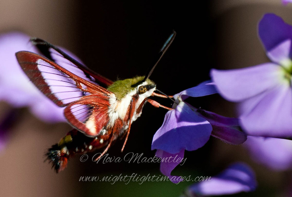"""Clear-winged Sphinx Moth 2 © 2012 Nova Mackentley Whitefish Point, MI CWS  <div class=""""ss-paypal-button""""><div class=""""ss-paypal-add-to-cart-section""""><div class=""""ss-paypal-product-options""""><h4>Mat Sizes</h4><ul><li><a href=""""https://www.paypal.com/cgi-bin/webscr?cmd=_cart&business=T77V5VKCW4K2U&lc=US&item_name=Clear-winged%20Sphinx%20Moth%202%20%C2%A9%202012%20Nova%20Mackentley%20Whitefish%20Point%2C%20MI%20CWS&item_number=http%3A%2F%2Fwww.nightflightimages.com%2FGalleries-1%2FButterflies%2Fi-XdpZgsr&button_subtype=products&no_note=0&cn=Add%20special%20instructions%20to%20the%20seller%3A&no_shipping=2&currency_code=USD&weight_unit=lbs&add=1&bn=PP-ShopCartBF%3Abtn_cart_SM.gif%3ANonHosted&on0=Mat%20Sizes&option_select0=5%20x%207&option_amount0=10.00&option_select1=8%20x%2010&option_amount1=18.00&option_select2=11%20x%2014&option_amount2=28.00&option_select3=card&option_amount3=4.00&option_index=0&charset=utf-8&submit=&os0=5%20x%207"""" target=""""paypal""""><span>5 x 7 $11.00 USD</span><img src=""""https://www.paypalobjects.com/en_US/i/btn/btn_cart_SM.gif""""></a></li><li><a href=""""https://www.paypal.com/cgi-bin/webscr?cmd=_cart&business=T77V5VKCW4K2U&lc=US&item_name=Clear-winged%20Sphinx%20Moth%202%20%C2%A9%202012%20Nova%20Mackentley%20Whitefish%20Point%2C%20MI%20CWS&item_number=http%3A%2F%2Fwww.nightflightimages.com%2FGalleries-1%2FButterflies%2Fi-XdpZgsr&button_subtype=products&no_note=0&cn=Add%20special%20instructions%20to%20the%20seller%3A&no_shipping=2&currency_code=USD&weight_unit=lbs&add=1&bn=PP-ShopCartBF%3Abtn_cart_SM.gif%3ANonHosted&on0=Mat%20Sizes&option_select0=5%20x%207&option_amount0=10.00&option_select1=8%20x%2010&option_amount1=18.00&option_select2=11%20x%2014&option_amount2=28.00&option_select3=card&option_amount3=4.00&option_index=0&charset=utf-8&submit=&os0=8%20x%2010"""" target=""""paypal""""><span>8 x 10 $19.00 USD</span><img src=""""https://www.paypalobjects.com/en_US/i/btn/btn_cart_SM.gif""""></a></li><li><a href=""""https://www.paypal.com/cgi-bin/webscr?cmd=_cart&business=T77V5VK"""