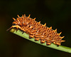 Polydama caterpillar composite 3064 3067