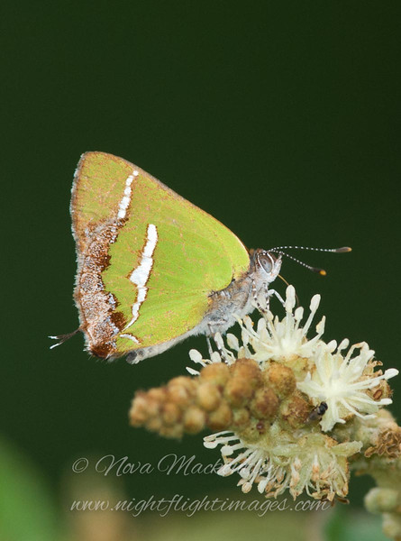 "Silver-banded Hairstreak © 2008 Nova Mackentley Laguna Atascosa NWR, TX SBH  <div class=""ss-paypal-button""><div class=""ss-paypal-add-to-cart-section""><div class=""ss-paypal-product-options""><h4>Mat Sizes</h4><ul><li><a href=""https://www.paypal.com/cgi-bin/webscr?cmd=_cart&amp;business=T77V5VKCW4K2U&amp;lc=US&amp;item_name=Silver-banded%20Hairstreak%20%C2%A9%202008%20Nova%20Mackentley%20Laguna%20Atascosa%20NWR%2C%20TX%20SBH&amp;item_number=http%3A%2F%2Fwww.nightflightimages.com%2FGalleries-1%2FButterflies%2Fi-gwmrdPZ&amp;button_subtype=products&amp;no_note=0&amp;cn=Add%20special%20instructions%20to%20the%20seller%3A&amp;no_shipping=2&amp;currency_code=USD&amp;weight_unit=lbs&amp;add=1&amp;bn=PP-ShopCartBF%3Abtn_cart_SM.gif%3ANonHosted&amp;on0=Mat%20Sizes&amp;option_select0=5%20x%207&amp;option_amount0=10.00&amp;option_select1=8%20x%2010&amp;option_amount1=18.00&amp;option_select2=11%20x%2014&amp;option_amount2=28.00&amp;option_select3=card&amp;option_amount3=4.00&amp;option_index=0&amp;charset=utf-8&amp;submit=&amp;os0=5%20x%207"" target=""paypal""><span>5 x 7 $11.00 USD</span><img src=""https://www.paypalobjects.com/en_US/i/btn/btn_cart_SM.gif""></a></li><li><a href=""https://www.paypal.com/cgi-bin/webscr?cmd=_cart&amp;business=T77V5VKCW4K2U&amp;lc=US&amp;item_name=Silver-banded%20Hairstreak%20%C2%A9%202008%20Nova%20Mackentley%20Laguna%20Atascosa%20NWR%2C%20TX%20SBH&amp;item_number=http%3A%2F%2Fwww.nightflightimages.com%2FGalleries-1%2FButterflies%2Fi-gwmrdPZ&amp;button_subtype=products&amp;no_note=0&amp;cn=Add%20special%20instructions%20to%20the%20seller%3A&amp;no_shipping=2&amp;currency_code=USD&amp;weight_unit=lbs&amp;add=1&amp;bn=PP-ShopCartBF%3Abtn_cart_SM.gif%3ANonHosted&amp;on0=Mat%20Sizes&amp;option_select0=5%20x%207&amp;option_amount0=10.00&amp;option_select1=8%20x%2010&amp;option_amount1=18.00&amp;option_select2=11%20x%2014&amp;option_amount2=28.00&amp;option_select3=card&amp;option_amount3=4.00&amp;option_index=0&amp;charset=utf-8&amp;submit=&amp;os0=8%20x%2010"" target=""paypal""><span>8 x 10 $19.00 USD</span><img src=""https://www.paypalobjects.com/en_US/i/btn/btn_cart_SM.gif""></a></li><li><a href=""https://www.paypal.com/cgi-bin/webscr?cmd=_cart&amp;business=T77V5VKCW4K2U&amp;lc=US&amp;item_name=Silver-banded%20Hairstreak%20%C2%A9%202008%20Nova%20Mackentley%20Laguna%20Atascosa%20NWR%2C%20TX%20SBH&amp;item_number=http%3A%2F%2Fwww.nightflightimages.com%2FGalleries-1%2FButterflies%2Fi-gwmrdPZ&amp;button_subtype=products&amp;no_note=0&amp;cn=Add%20special%20instructions%20to%20the%20seller%3A&amp;no_shipping=2&amp;currency_code=USD&amp;weight_unit=lbs&amp;add=1&amp;bn=PP-ShopCartBF%3Abtn_cart_SM.gif%3ANonHosted&amp;on0=Mat%20Sizes&amp;option_select0=5%20x%207&amp;option_amount0=10.00&amp;option_select1=8%20x%2010&amp;option_amount1=18.00&amp;option_select2=11%20x%2014&amp;option_amount2=28.00&amp;option_select3=card&amp;option_amount3=4.00&amp;option_index=0&amp;charset=utf-8&amp;submit=&amp;os0=11%20x%2014"" target=""paypal""><span>11 x 14 $29.00 USD</span><img src=""https://www.paypalobjects.com/en_US/i/btn/btn_cart_SM.gif""></a></li><li><a href=""https://www.paypal.com/cgi-bin/webscr?cmd=_cart&amp;business=T77V5VKCW4K2U&amp;lc=US&amp;item_name=Silver-banded%20Hairstreak%20%C2%A9%202008%20Nova%20Mackentley%20Laguna%20Atascosa%20NWR%2C%20TX%20SBH&amp;item_number=http%3A%2F%2Fwww.nightflightimages.com%2FGalleries-1%2FButterflies%2Fi-gwmrdPZ&amp;button_subtype=products&amp;no_note=0&amp;cn=Add%20special%20instructions%20to%20the%20seller%3A&amp;no_shipping=2&amp;currency_code=USD&amp;weight_unit=lbs&amp;add=1&amp;bn=PP-ShopCartBF%3Abtn_cart_SM.gif%3ANonHosted&amp;on0=Mat%20Sizes&amp;option_select0=5%20x%207&amp;option_amount0=10.00&amp;option_select1=8%20x%2010&amp;option_amount1=18.00&amp;option_select2=11%20x%2014&amp;option_amount2=28.00&amp;option_select3=card&amp;option_amount3=4.00&amp;option_index=0&amp;charset=utf-8&amp;submit=&amp;os0=card"" target=""paypal""><span>card $5.00 USD</span><img src=""https://www.paypalobjects.com/en_US/i/btn/btn_cart_SM.gif""></a></li></ul></div></div> <div class=""ss-paypal-view-cart-section""><a href=""https://www.paypal.com/cgi-bin/webscr?cmd=_cart&amp;business=T77V5VKCW4K2U&amp;display=1&amp;item_name=Silver-banded%20Hairstreak%20%C2%A9%202008%20Nova%20Mackentley%20Laguna%20Atascosa%20NWR%2C%20TX%20SBH&amp;item_number=http%3A%2F%2Fwww.nightflightimages.com%2FGalleries-1%2FButterflies%2Fi-gwmrdPZ&amp;charset=utf-8&amp;submit="" target=""paypal"" class=""ss-paypal-submit-button""><img src=""https://www.paypalobjects.com/en_US/i/btn/btn_viewcart_LG.gif""></a></div></div><div class=""ss-paypal-button-end""></div>"