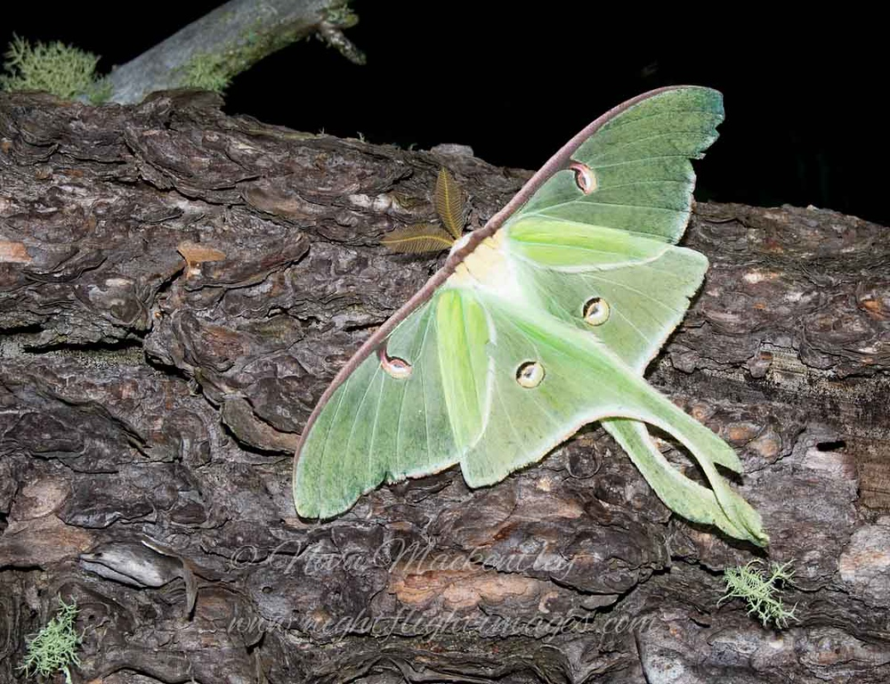 """Luna Moth © 2008 Nova Mackentley Whitefish Point, MI LUN  <div class=""""ss-paypal-button""""><div class=""""ss-paypal-add-to-cart-section""""><div class=""""ss-paypal-product-options""""><h4>Mat Sizes</h4><ul><li><a href=""""https://www.paypal.com/cgi-bin/webscr?cmd=_cart&business=T77V5VKCW4K2U&lc=US&item_name=Luna%20Moth%20%C2%A9%202008%20Nova%20Mackentley%20Whitefish%20Point%2C%20MI%20LUN&item_number=http%3A%2F%2Fwww.nightflightimages.com%2FGalleries-1%2FButterflies%2Fi-hS3FKzT&button_subtype=products&no_note=0&cn=Add%20special%20instructions%20to%20the%20seller%3A&no_shipping=2&currency_code=USD&weight_unit=lbs&add=1&bn=PP-ShopCartBF%3Abtn_cart_SM.gif%3ANonHosted&on0=Mat%20Sizes&option_select0=5%20x%207&option_amount0=10.00&option_select1=8%20x%2010&option_amount1=18.00&option_select2=11%20x%2014&option_amount2=28.00&option_select3=card&option_amount3=4.00&option_index=0&charset=utf-8&submit=&os0=5%20x%207"""" target=""""paypal""""><span>5 x 7 $11.00 USD</span><img src=""""https://www.paypalobjects.com/en_US/i/btn/btn_cart_SM.gif""""></a></li><li><a href=""""https://www.paypal.com/cgi-bin/webscr?cmd=_cart&business=T77V5VKCW4K2U&lc=US&item_name=Luna%20Moth%20%C2%A9%202008%20Nova%20Mackentley%20Whitefish%20Point%2C%20MI%20LUN&item_number=http%3A%2F%2Fwww.nightflightimages.com%2FGalleries-1%2FButterflies%2Fi-hS3FKzT&button_subtype=products&no_note=0&cn=Add%20special%20instructions%20to%20the%20seller%3A&no_shipping=2&currency_code=USD&weight_unit=lbs&add=1&bn=PP-ShopCartBF%3Abtn_cart_SM.gif%3ANonHosted&on0=Mat%20Sizes&option_select0=5%20x%207&option_amount0=10.00&option_select1=8%20x%2010&option_amount1=18.00&option_select2=11%20x%2014&option_amount2=28.00&option_select3=card&option_amount3=4.00&option_index=0&charset=utf-8&submit=&os0=8%20x%2010"""" target=""""paypal""""><span>8 x 10 $19.00 USD</span><img src=""""https://www.paypalobjects.com/en_US/i/btn/btn_cart_SM.gif""""></a></li><li><a href=""""https://www.paypal.com/cgi-bin/webscr?cmd=_cart&business=T77V5VKCW4K2U&lc=US&item_name=Luna%20Moth%20%C2%A9%202008%20Nova%2"""