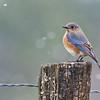 Painterly Bluebird in Snow