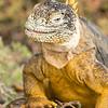 Smiling Iguana