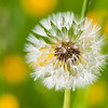 Dandelion with Dew
