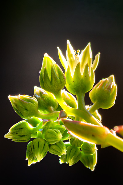 Succulent Bloom