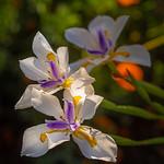 Backyard Iris