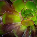 Desert Pinwheel Rose