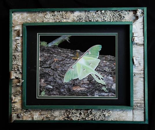 Luna Moth 11x14 Birchbark Frame