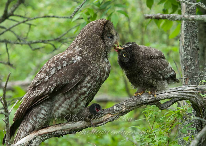"adult feeding young © 2010 Nova Mackentley Upper Peninsula, MI GGK  <div class=""ss-paypal-button""><div class=""ss-paypal-add-to-cart-section""><div class=""ss-paypal-product-options""><h4>Mat Sizes</h4><ul><li><a href=""https://www.paypal.com/cgi-bin/webscr?cmd=_cart&amp;business=T77V5VKCW4K2U&amp;lc=US&amp;item_name=adult%20feeding%20young%20%C2%A9%202010%20Nova%20Mackentley%20Upper%20Peninsula%2C%20MI%20GGK&amp;item_number=http%3A%2F%2Fwww.nightflightimages.com%2FGalleries-1%2FGGOW%2Fi-2rkw3cs&amp;button_subtype=products&amp;no_note=0&amp;cn=Add%20special%20instructions%20to%20the%20seller%3A&amp;no_shipping=2&amp;currency_code=USD&amp;weight_unit=lbs&amp;add=1&amp;bn=PP-ShopCartBF%3Abtn_cart_SM.gif%3ANonHosted&amp;on0=Mat%20Sizes&amp;option_select0=5%20x%207&amp;option_amount0=10.00&amp;option_select1=8%20x%2010&amp;option_amount1=18.00&amp;option_select2=11%20x%2014&amp;option_amount2=28.00&amp;option_select3=card&amp;option_amount3=4.00&amp;option_index=0&amp;charset=utf-8&amp;submit=&amp;os0=5%20x%207"" target=""paypal""><span>5 x 7 $11.00 USD</span><img src=""https://www.paypalobjects.com/en_US/i/btn/btn_cart_SM.gif""></a></li><li><a href=""https://www.paypal.com/cgi-bin/webscr?cmd=_cart&amp;business=T77V5VKCW4K2U&amp;lc=US&amp;item_name=adult%20feeding%20young%20%C2%A9%202010%20Nova%20Mackentley%20Upper%20Peninsula%2C%20MI%20GGK&amp;item_number=http%3A%2F%2Fwww.nightflightimages.com%2FGalleries-1%2FGGOW%2Fi-2rkw3cs&amp;button_subtype=products&amp;no_note=0&amp;cn=Add%20special%20instructions%20to%20the%20seller%3A&amp;no_shipping=2&amp;currency_code=USD&amp;weight_unit=lbs&amp;add=1&amp;bn=PP-ShopCartBF%3Abtn_cart_SM.gif%3ANonHosted&amp;on0=Mat%20Sizes&amp;option_select0=5%20x%207&amp;option_amount0=10.00&amp;option_select1=8%20x%2010&amp;option_amount1=18.00&amp;option_select2=11%20x%2014&amp;option_amount2=28.00&amp;option_select3=card&amp;option_amount3=4.00&amp;option_index=0&amp;charset=utf-8&amp;submit=&amp;os0=8%20x%2010"" target=""paypal""><span>8 x 10 $19.00 USD</span><img src=""https://www.paypalobjects.com/en_US/i/btn/btn_cart_SM.gif""></a></li><li><a href=""https://www.paypal.com/cgi-bin/webscr?cmd=_cart&amp;business=T77V5VKCW4K2U&amp;lc=US&amp;item_name=adult%20feeding%20young%20%C2%A9%202010%20Nova%20Mackentley%20Upper%20Peninsula%2C%20MI%20GGK&amp;item_number=http%3A%2F%2Fwww.nightflightimages.com%2FGalleries-1%2FGGOW%2Fi-2rkw3cs&amp;button_subtype=products&amp;no_note=0&amp;cn=Add%20special%20instructions%20to%20the%20seller%3A&amp;no_shipping=2&amp;currency_code=USD&amp;weight_unit=lbs&amp;add=1&amp;bn=PP-ShopCartBF%3Abtn_cart_SM.gif%3ANonHosted&amp;on0=Mat%20Sizes&amp;option_select0=5%20x%207&amp;option_amount0=10.00&amp;option_select1=8%20x%2010&amp;option_amount1=18.00&amp;option_select2=11%20x%2014&amp;option_amount2=28.00&amp;option_select3=card&amp;option_amount3=4.00&amp;option_index=0&amp;charset=utf-8&amp;submit=&amp;os0=11%20x%2014"" target=""paypal""><span>11 x 14 $29.00 USD</span><img src=""https://www.paypalobjects.com/en_US/i/btn/btn_cart_SM.gif""></a></li><li><a href=""https://www.paypal.com/cgi-bin/webscr?cmd=_cart&amp;business=T77V5VKCW4K2U&amp;lc=US&amp;item_name=adult%20feeding%20young%20%C2%A9%202010%20Nova%20Mackentley%20Upper%20Peninsula%2C%20MI%20GGK&amp;item_number=http%3A%2F%2Fwww.nightflightimages.com%2FGalleries-1%2FGGOW%2Fi-2rkw3cs&amp;button_subtype=products&amp;no_note=0&amp;cn=Add%20special%20instructions%20to%20the%20seller%3A&amp;no_shipping=2&amp;currency_code=USD&amp;weight_unit=lbs&amp;add=1&amp;bn=PP-ShopCartBF%3Abtn_cart_SM.gif%3ANonHosted&amp;on0=Mat%20Sizes&amp;option_select0=5%20x%207&amp;option_amount0=10.00&amp;option_select1=8%20x%2010&amp;option_amount1=18.00&amp;option_select2=11%20x%2014&amp;option_amount2=28.00&amp;option_select3=card&amp;option_amount3=4.00&amp;option_index=0&amp;charset=utf-8&amp;submit=&amp;os0=card"" target=""paypal""><span>card $5.00 USD</span><img src=""https://www.paypalobjects.com/en_US/i/btn/btn_cart_SM.gif""></a></li></ul></div></div> <div class=""ss-paypal-view-cart-section""><a href=""https://www.paypal.com/cgi-bin/webscr?cmd=_cart&amp;business=T77V5VKCW4K2U&amp;display=1&amp;item_name=adult%20feeding%20young%20%C2%A9%202010%20Nova%20Mackentley%20Upper%20Peninsula%2C%20MI%20GGK&amp;item_number=http%3A%2F%2Fwww.nightflightimages.com%2FGalleries-1%2FGGOW%2Fi-2rkw3cs&amp;charset=utf-8&amp;submit="" target=""paypal"" class=""ss-paypal-submit-button""><img src=""https://www.paypalobjects.com/en_US/i/btn/btn_viewcart_LG.gif""></a></div></div><div class=""ss-paypal-button-end""></div>"