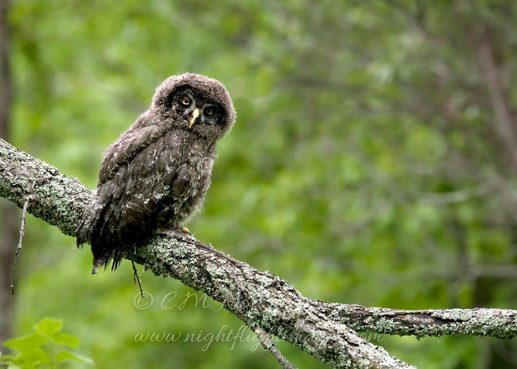 """Great Gray Owl chick © 2010 C. M. Neri Chippewa County, MI GGOWJ2  <div class=""""ss-paypal-button""""><div class=""""ss-paypal-add-to-cart-section""""><div class=""""ss-paypal-product-options""""><h4>Mat Sizes</h4><ul><li><a href=""""https://www.paypal.com/cgi-bin/webscr?cmd=_cart&business=T77V5VKCW4K2U&lc=US&item_name=Great%20Gray%20Owl%20chick%20%C2%A9%202010%20C.%20M.%20Neri%20Chippewa%20County%2C%20MI%20GGOWJ2&item_number=http%3A%2F%2Fwww.nightflightimages.com%2FGalleries-1%2FGGOW%2Fi-BDnHnnv&button_subtype=products&no_note=0&cn=Add%20special%20instructions%20to%20the%20seller%3A&no_shipping=2&currency_code=USD&weight_unit=lbs&add=1&bn=PP-ShopCartBF%3Abtn_cart_SM.gif%3ANonHosted&on0=Mat%20Sizes&option_select0=5%20x%207&option_amount0=10.00&option_select1=8%20x%2010&option_amount1=18.00&option_select2=11%20x%2014&option_amount2=28.00&option_select3=card&option_amount3=4.00&option_index=0&charset=utf-8&submit=&os0=5%20x%207"""" target=""""paypal""""><span>5 x 7 $11.00 USD</span><img src=""""https://www.paypalobjects.com/en_US/i/btn/btn_cart_SM.gif""""></a></li><li><a href=""""https://www.paypal.com/cgi-bin/webscr?cmd=_cart&business=T77V5VKCW4K2U&lc=US&item_name=Great%20Gray%20Owl%20chick%20%C2%A9%202010%20C.%20M.%20Neri%20Chippewa%20County%2C%20MI%20GGOWJ2&item_number=http%3A%2F%2Fwww.nightflightimages.com%2FGalleries-1%2FGGOW%2Fi-BDnHnnv&button_subtype=products&no_note=0&cn=Add%20special%20instructions%20to%20the%20seller%3A&no_shipping=2&currency_code=USD&weight_unit=lbs&add=1&bn=PP-ShopCartBF%3Abtn_cart_SM.gif%3ANonHosted&on0=Mat%20Sizes&option_select0=5%20x%207&option_amount0=10.00&option_select1=8%20x%2010&option_amount1=18.00&option_select2=11%20x%2014&option_amount2=28.00&option_select3=card&option_amount3=4.00&option_index=0&charset=utf-8&submit=&os0=8%20x%2010"""" target=""""paypal""""><span>8 x 10 $19.00 USD</span><img src=""""https://www.paypalobjects.com/en_US/i/btn/btn_cart_SM.gif""""></a></li><li><a href=""""https://www.paypal.com/cgi-bin/webscr?cmd=_cart&business=T77V5VKCW4K2U&lc=US&item_name=Great%20Gra"""