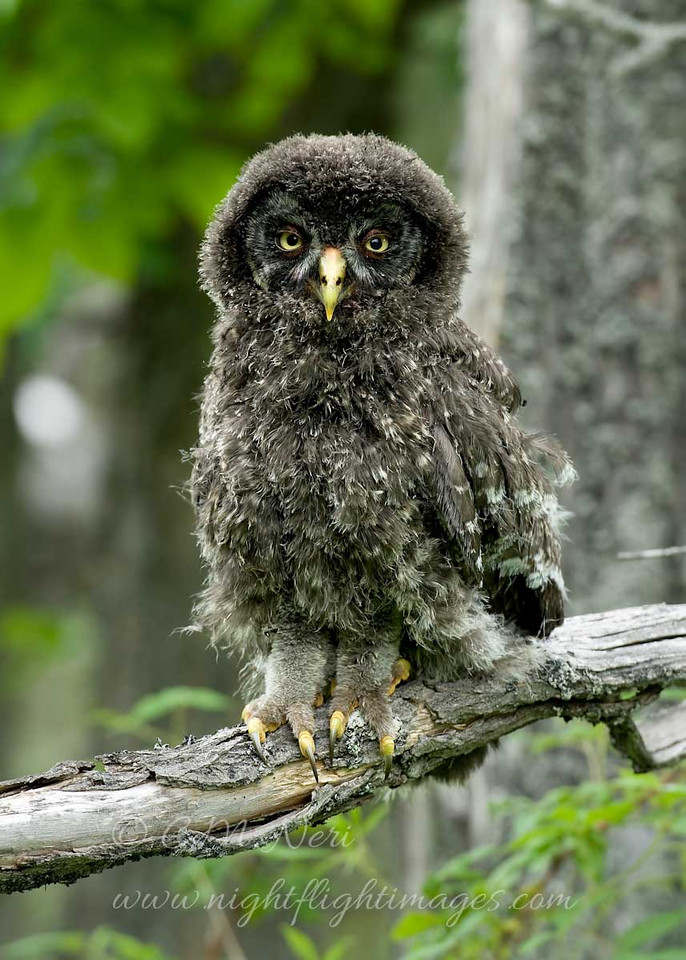 """Great Gray Owl chick © 2010 C. M. Neri Chippewa County, MI GGOWJ  <div class=""""ss-paypal-button""""><div class=""""ss-paypal-add-to-cart-section""""><div class=""""ss-paypal-product-options""""><h4>Mat Sizes</h4><ul><li><a href=""""https://www.paypal.com/cgi-bin/webscr?cmd=_cart&business=T77V5VKCW4K2U&lc=US&item_name=Great%20Gray%20Owl%20chick%20%C2%A9%202010%20C.%20M.%20Neri%20Chippewa%20County%2C%20MI%20GGOWJ&item_number=http%3A%2F%2Fwww.nightflightimages.com%2FGalleries-1%2FGGOW%2Fi-CvTjHMM&button_subtype=products&no_note=0&cn=Add%20special%20instructions%20to%20the%20seller%3A&no_shipping=2&currency_code=USD&weight_unit=lbs&add=1&bn=PP-ShopCartBF%3Abtn_cart_SM.gif%3ANonHosted&on0=Mat%20Sizes&option_select0=5%20x%207&option_amount0=10.00&option_select1=8%20x%2010&option_amount1=18.00&option_select2=11%20x%2014&option_amount2=28.00&option_select3=card&option_amount3=4.00&option_index=0&charset=utf-8&submit=&os0=5%20x%207"""" target=""""paypal""""><span>5 x 7 $11.00 USD</span><img src=""""https://www.paypalobjects.com/en_US/i/btn/btn_cart_SM.gif""""></a></li><li><a href=""""https://www.paypal.com/cgi-bin/webscr?cmd=_cart&business=T77V5VKCW4K2U&lc=US&item_name=Great%20Gray%20Owl%20chick%20%C2%A9%202010%20C.%20M.%20Neri%20Chippewa%20County%2C%20MI%20GGOWJ&item_number=http%3A%2F%2Fwww.nightflightimages.com%2FGalleries-1%2FGGOW%2Fi-CvTjHMM&button_subtype=products&no_note=0&cn=Add%20special%20instructions%20to%20the%20seller%3A&no_shipping=2&currency_code=USD&weight_unit=lbs&add=1&bn=PP-ShopCartBF%3Abtn_cart_SM.gif%3ANonHosted&on0=Mat%20Sizes&option_select0=5%20x%207&option_amount0=10.00&option_select1=8%20x%2010&option_amount1=18.00&option_select2=11%20x%2014&option_amount2=28.00&option_select3=card&option_amount3=4.00&option_index=0&charset=utf-8&submit=&os0=8%20x%2010"""" target=""""paypal""""><span>8 x 10 $19.00 USD</span><img src=""""https://www.paypalobjects.com/en_US/i/btn/btn_cart_SM.gif""""></a></li><li><a href=""""https://www.paypal.com/cgi-bin/webscr?cmd=_cart&business=T77V5VKCW4K2U&lc=US&item_name=Great%20Gray%2"""