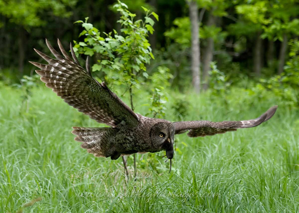 "Great Gray Owl © 2010 C. M. Neri. Chippewa County, MI  <div class=""ss-paypal-button""><div class=""ss-paypal-add-to-cart-section""><div class=""ss-paypal-product-options""><h4>Mat Sizes</h4><ul><li><a href=""https://www.paypal.com/cgi-bin/webscr?cmd=_cart&business=T77V5VKCW4K2U&lc=US&item_name=Great%20Gray%20Owl%20%C2%A9%202010%20C.%20M.%20Neri.%20Chippewa%20County%2C%20MI&item_number=http%3A%2F%2Fwww.nightflightimages.com%2FGalleries-1%2FGGOW%2Fi-cdXQBBb&button_subtype=products&no_note=0&cn=Add%20special%20instructions%20to%20the%20seller%3A&no_shipping=2&currency_code=USD&weight_unit=lbs&add=1&bn=PP-ShopCartBF%3Abtn_cart_SM.gif%3ANonHosted&on0=Mat%20Sizes&option_select0=5%20x%207&option_amount0=10.00&option_select1=8%20x%2010&option_amount1=18.00&option_select2=11%20x%2014&option_amount2=28.00&option_select3=card&option_amount3=4.00&option_index=0&charset=utf-8&submit=&os0=5%20x%207"" target=""paypal""><span>5 x 7 $11.00 USD</span><img src=""https://www.paypalobjects.com/en_US/i/btn/btn_cart_SM.gif""></a></li><li><a href=""https://www.paypal.com/cgi-bin/webscr?cmd=_cart&business=T77V5VKCW4K2U&lc=US&item_name=Great%20Gray%20Owl%20%C2%A9%202010%20C.%20M.%20Neri.%20Chippewa%20County%2C%20MI&item_number=http%3A%2F%2Fwww.nightflightimages.com%2FGalleries-1%2FGGOW%2Fi-cdXQBBb&button_subtype=products&no_note=0&cn=Add%20special%20instructions%20to%20the%20seller%3A&no_shipping=2&currency_code=USD&weight_unit=lbs&add=1&bn=PP-ShopCartBF%3Abtn_cart_SM.gif%3ANonHosted&on0=Mat%20Sizes&option_select0=5%20x%207&option_amount0=10.00&option_select1=8%20x%2010&option_amount1=18.00&option_select2=11%20x%2014&option_amount2=28.00&option_select3=card&option_amount3=4.00&option_index=0&charset=utf-8&submit=&os0=8%20x%2010"" target=""paypal""><span>8 x 10 $19.00 USD</span><img src=""https://www.paypalobjects.com/en_US/i/btn/btn_cart_SM.gif""></a></li><li><a href=""https://www.paypal.com/cgi-bin/webscr?cmd=_cart&business=T77V5VKCW4K2U&lc=US&item_name=Great%20Gray%20Owl%20%C2%A9%202010%20C.%20M.%20Neri.%20Chippewa%20County%2C%20MI&item_number=http%3A%2F%2Fwww.nightflightimages.com%2FGalleries-1%2FGGOW%2Fi-cdXQBBb&button_subtype=products&no_note=0&cn=Add%20special%20instructions%20to%20the%20seller%3A&no_shipping=2&currency_code=USD&weight_unit=lbs&add=1&bn=PP-ShopCartBF%3Abtn_cart_SM.gif%3ANonHosted&on0=Mat%20Sizes&option_select0=5%20x%207&option_amount0=10.00&option_select1=8%20x%2010&option_amount1=18.00&option_select2=11%20x%2014&option_amount2=28.00&option_select3=card&option_amount3=4.00&option_index=0&charset=utf-8&submit=&os0=11%20x%2014"" target=""paypal""><span>11 x 14 $29.00 USD</span><img src=""https://www.paypalobjects.com/en_US/i/btn/btn_cart_SM.gif""></a></li><li><a href=""https://www.paypal.com/cgi-bin/webscr?cmd=_cart&business=T77V5VKCW4K2U&lc=US&item_name=Great%20Gray%20Owl%20%C2%A9%202010%20C.%20M.%20Neri.%20Chippewa%20County%2C%20MI&item_number=http%3A%2F%2Fwww.nightflightimages.com%2FGalleries-1%2FGGOW%2Fi-cdXQBBb&button_subtype=products&no_note=0&cn=Add%20special%20instructions%20to%20the%20seller%3A&no_shipping=2&currency_code=USD&weight_unit=lbs&add=1&bn=PP-ShopCartBF%3Abtn_cart_SM.gif%3ANonHosted&on0=Mat%20Sizes&option_select0=5%20x%207&option_amount0=10.00&option_select1=8%20x%2010&option_amount1=18.00&option_select2=11%20x%2014&option_amount2=28.00&option_select3=card&option_amount3=4.00&option_index=0&charset=utf-8&submit=&os0=card"" target=""paypal""><span>card $5.00 USD</span><img src=""https://www.paypalobjects.com/en_US/i/btn/btn_cart_SM.gif""></a></li></ul></div></div> <div class=""ss-paypal-view-cart-section""><a href=""https://www.paypal.com/cgi-bin/webscr?cmd=_cart&business=T77V5VKCW4K2U&display=1&item_name=Great%20Gray%20Owl%20%C2%A9%202010%20C.%20M.%20Neri.%20Chippewa%20County%2C%20MI&item_number=http%3A%2F%2Fwww.nightflightimages.com%2FGalleries-1%2FGGOW%2Fi-cdXQBBb&charset=utf-8&submit="" target=""paypal"" class=""ss-paypal-submit-button""><img src=""https://www.paypalobjects.com/en_US/i/btn/btn_viewcart_LG.gif""></a></div></div><div class=""ss-paypal-button-end""></div>"