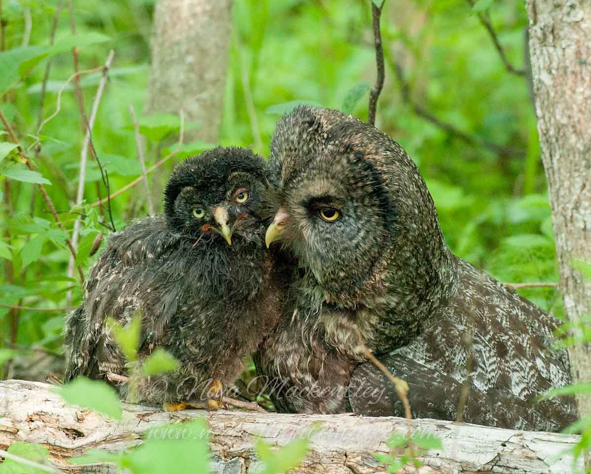 """Great Gray Owl Family © 2010 Nova Mackentley Upper Peninsula, MI GGA  <div class=""""ss-paypal-button""""><div class=""""ss-paypal-add-to-cart-section""""><div class=""""ss-paypal-product-options""""><h4>Mat Sizes</h4><ul><li><a href=""""https://www.paypal.com/cgi-bin/webscr?cmd=_cart&business=T77V5VKCW4K2U&lc=US&item_name=Great%20Gray%20Owl%20Family%20%C2%A9%202010%20Nova%20Mackentley%20Upper%20Peninsula%2C%20MI%20GGA&item_number=http%3A%2F%2Fwww.nightflightimages.com%2FGalleries-1%2FGGOW%2Fi-d2Bk9P8&button_subtype=products&no_note=0&cn=Add%20special%20instructions%20to%20the%20seller%3A&no_shipping=2&currency_code=USD&weight_unit=lbs&add=1&bn=PP-ShopCartBF%3Abtn_cart_SM.gif%3ANonHosted&on0=Mat%20Sizes&option_select0=5%20x%207&option_amount0=10.00&option_select1=8%20x%2010&option_amount1=18.00&option_select2=11%20x%2014&option_amount2=28.00&option_select3=card&option_amount3=4.00&option_index=0&charset=utf-8&submit=&os0=5%20x%207"""" target=""""paypal""""><span>5 x 7 $11.00 USD</span><img src=""""https://www.paypalobjects.com/en_US/i/btn/btn_cart_SM.gif""""></a></li><li><a href=""""https://www.paypal.com/cgi-bin/webscr?cmd=_cart&business=T77V5VKCW4K2U&lc=US&item_name=Great%20Gray%20Owl%20Family%20%C2%A9%202010%20Nova%20Mackentley%20Upper%20Peninsula%2C%20MI%20GGA&item_number=http%3A%2F%2Fwww.nightflightimages.com%2FGalleries-1%2FGGOW%2Fi-d2Bk9P8&button_subtype=products&no_note=0&cn=Add%20special%20instructions%20to%20the%20seller%3A&no_shipping=2&currency_code=USD&weight_unit=lbs&add=1&bn=PP-ShopCartBF%3Abtn_cart_SM.gif%3ANonHosted&on0=Mat%20Sizes&option_select0=5%20x%207&option_amount0=10.00&option_select1=8%20x%2010&option_amount1=18.00&option_select2=11%20x%2014&option_amount2=28.00&option_select3=card&option_amount3=4.00&option_index=0&charset=utf-8&submit=&os0=8%20x%2010"""" target=""""paypal""""><span>8 x 10 $19.00 USD</span><img src=""""https://www.paypalobjects.com/en_US/i/btn/btn_cart_SM.gif""""></a></li><li><a href=""""https://www.paypal.com/cgi-bin/webscr?cmd=_cart&business=T77V5VKCW4K2U&lc=US&item_name=Great%"""