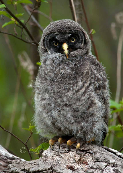 "Great Gray Owl chick © 2010 C. M. Neri Chippewa County, MI GGOWB  <div class=""ss-paypal-button""><div class=""ss-paypal-add-to-cart-section""><div class=""ss-paypal-product-options""><h4>Mat Sizes</h4><ul><li><a href=""https://www.paypal.com/cgi-bin/webscr?cmd=_cart&amp;business=T77V5VKCW4K2U&amp;lc=US&amp;item_name=Great%20Gray%20Owl%20chick%20%C2%A9%202010%20C.%20M.%20Neri%20Chippewa%20County%2C%20MI%20GGOWB&amp;item_number=http%3A%2F%2Fwww.nightflightimages.com%2FGalleries-1%2FGGOW%2Fi-jFD86wm&amp;button_subtype=products&amp;no_note=0&amp;cn=Add%20special%20instructions%20to%20the%20seller%3A&amp;no_shipping=2&amp;currency_code=USD&amp;weight_unit=lbs&amp;add=1&amp;bn=PP-ShopCartBF%3Abtn_cart_SM.gif%3ANonHosted&amp;on0=Mat%20Sizes&amp;option_select0=5%20x%207&amp;option_amount0=10.00&amp;option_select1=8%20x%2010&amp;option_amount1=18.00&amp;option_select2=11%20x%2014&amp;option_amount2=28.00&amp;option_select3=card&amp;option_amount3=4.00&amp;option_index=0&amp;charset=utf-8&amp;submit=&amp;os0=5%20x%207"" target=""paypal""><span>5 x 7 $11.00 USD</span><img src=""https://www.paypalobjects.com/en_US/i/btn/btn_cart_SM.gif""></a></li><li><a href=""https://www.paypal.com/cgi-bin/webscr?cmd=_cart&amp;business=T77V5VKCW4K2U&amp;lc=US&amp;item_name=Great%20Gray%20Owl%20chick%20%C2%A9%202010%20C.%20M.%20Neri%20Chippewa%20County%2C%20MI%20GGOWB&amp;item_number=http%3A%2F%2Fwww.nightflightimages.com%2FGalleries-1%2FGGOW%2Fi-jFD86wm&amp;button_subtype=products&amp;no_note=0&amp;cn=Add%20special%20instructions%20to%20the%20seller%3A&amp;no_shipping=2&amp;currency_code=USD&amp;weight_unit=lbs&amp;add=1&amp;bn=PP-ShopCartBF%3Abtn_cart_SM.gif%3ANonHosted&amp;on0=Mat%20Sizes&amp;option_select0=5%20x%207&amp;option_amount0=10.00&amp;option_select1=8%20x%2010&amp;option_amount1=18.00&amp;option_select2=11%20x%2014&amp;option_amount2=28.00&amp;option_select3=card&amp;option_amount3=4.00&amp;option_index=0&amp;charset=utf-8&amp;submit=&amp;os0=8%20x%2010"" target=""paypal""><span>8 x 10 $19.00 USD</span><img src=""https://www.paypalobjects.com/en_US/i/btn/btn_cart_SM.gif""></a></li><li><a href=""https://www.paypal.com/cgi-bin/webscr?cmd=_cart&amp;business=T77V5VKCW4K2U&amp;lc=US&amp;item_name=Great%20Gray%20Owl%20chick%20%C2%A9%202010%20C.%20M.%20Neri%20Chippewa%20County%2C%20MI%20GGOWB&amp;item_number=http%3A%2F%2Fwww.nightflightimages.com%2FGalleries-1%2FGGOW%2Fi-jFD86wm&amp;button_subtype=products&amp;no_note=0&amp;cn=Add%20special%20instructions%20to%20the%20seller%3A&amp;no_shipping=2&amp;currency_code=USD&amp;weight_unit=lbs&amp;add=1&amp;bn=PP-ShopCartBF%3Abtn_cart_SM.gif%3ANonHosted&amp;on0=Mat%20Sizes&amp;option_select0=5%20x%207&amp;option_amount0=10.00&amp;option_select1=8%20x%2010&amp;option_amount1=18.00&amp;option_select2=11%20x%2014&amp;option_amount2=28.00&amp;option_select3=card&amp;option_amount3=4.00&amp;option_index=0&amp;charset=utf-8&amp;submit=&amp;os0=11%20x%2014"" target=""paypal""><span>11 x 14 $29.00 USD</span><img src=""https://www.paypalobjects.com/en_US/i/btn/btn_cart_SM.gif""></a></li><li><a href=""https://www.paypal.com/cgi-bin/webscr?cmd=_cart&amp;business=T77V5VKCW4K2U&amp;lc=US&amp;item_name=Great%20Gray%20Owl%20chick%20%C2%A9%202010%20C.%20M.%20Neri%20Chippewa%20County%2C%20MI%20GGOWB&amp;item_number=http%3A%2F%2Fwww.nightflightimages.com%2FGalleries-1%2FGGOW%2Fi-jFD86wm&amp;button_subtype=products&amp;no_note=0&amp;cn=Add%20special%20instructions%20to%20the%20seller%3A&amp;no_shipping=2&amp;currency_code=USD&amp;weight_unit=lbs&amp;add=1&amp;bn=PP-ShopCartBF%3Abtn_cart_SM.gif%3ANonHosted&amp;on0=Mat%20Sizes&amp;option_select0=5%20x%207&amp;option_amount0=10.00&amp;option_select1=8%20x%2010&amp;option_amount1=18.00&amp;option_select2=11%20x%2014&amp;option_amount2=28.00&amp;option_select3=card&amp;option_amount3=4.00&amp;option_index=0&amp;charset=utf-8&amp;submit=&amp;os0=card"" target=""paypal""><span>card $5.00 USD</span><img src=""https://www.paypalobjects.com/en_US/i/btn/btn_cart_SM.gif""></a></li></ul></div></div> <div class=""ss-paypal-view-cart-section""><a href=""https://www.paypal.com/cgi-bin/webscr?cmd=_cart&amp;business=T77V5VKCW4K2U&amp;display=1&amp;item_name=Great%20Gray%20Owl%20chick%20%C2%A9%202010%20C.%20M.%20Neri%20Chippewa%20County%2C%20MI%20GGOWB&amp;item_number=http%3A%2F%2Fwww.nightflightimages.com%2FGalleries-1%2FGGOW%2Fi-jFD86wm&amp;charset=utf-8&amp;submit="" target=""paypal"" class=""ss-paypal-submit-button""><img src=""https://www.paypalobjects.com/en_US/i/btn/btn_viewcart_LG.gif""></a></div></div><div class=""ss-paypal-button-end""></div>"