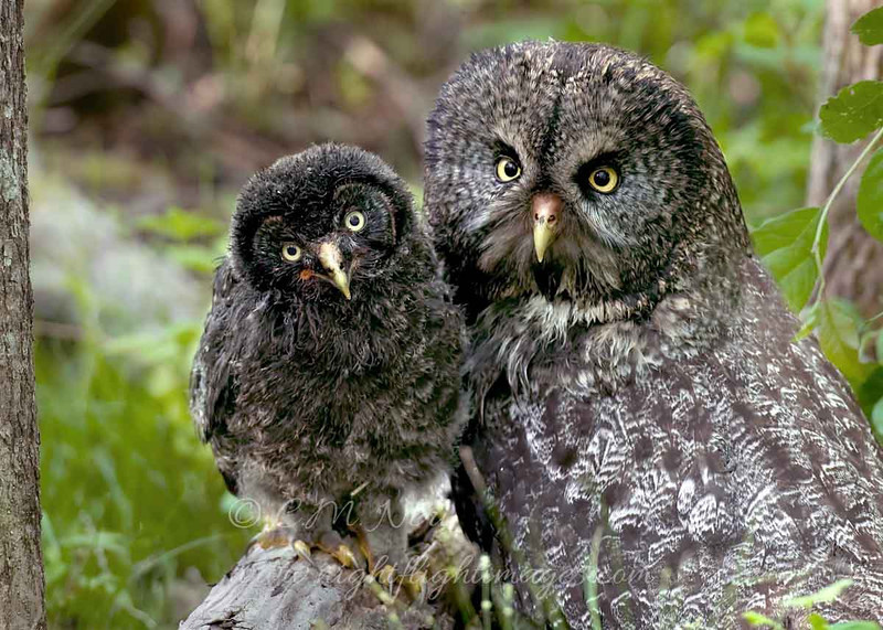 "Great Gray Owls © 2010 C. M. Neri. Chippewa County, MI GGOWM&J  <div class=""ss-paypal-button""><div class=""ss-paypal-add-to-cart-section""><div class=""ss-paypal-product-options""><h4>Mat Sizes</h4><ul><li><a href=""https://www.paypal.com/cgi-bin/webscr?cmd=_cart&business=T77V5VKCW4K2U&lc=US&item_name=Great%20Gray%20Owls%20%C2%A9%202010%20C.%20M.%20Neri.%20Chippewa%20County%2C%20MI%20GGOWM%26amp%3BJ&item_number=http%3A%2F%2Fwww.nightflightimages.com%2FGalleries-1%2FGGOW%2Fi-kqQ7MdV&button_subtype=products&no_note=0&cn=Add%20special%20instructions%20to%20the%20seller%3A&no_shipping=2&currency_code=USD&weight_unit=lbs&add=1&bn=PP-ShopCartBF%3Abtn_cart_SM.gif%3ANonHosted&on0=Mat%20Sizes&option_select0=5%20x%207&option_amount0=10.00&option_select1=8%20x%2010&option_amount1=18.00&option_select2=11%20x%2014&option_amount2=28.00&option_select3=card&option_amount3=4.00&option_index=0&charset=utf-8&submit=&os0=5%20x%207"" target=""paypal""><span>5 x 7 $11.00 USD</span><img src=""https://www.paypalobjects.com/en_US/i/btn/btn_cart_SM.gif""></a></li><li><a href=""https://www.paypal.com/cgi-bin/webscr?cmd=_cart&business=T77V5VKCW4K2U&lc=US&item_name=Great%20Gray%20Owls%20%C2%A9%202010%20C.%20M.%20Neri.%20Chippewa%20County%2C%20MI%20GGOWM%26amp%3BJ&item_number=http%3A%2F%2Fwww.nightflightimages.com%2FGalleries-1%2FGGOW%2Fi-kqQ7MdV&button_subtype=products&no_note=0&cn=Add%20special%20instructions%20to%20the%20seller%3A&no_shipping=2&currency_code=USD&weight_unit=lbs&add=1&bn=PP-ShopCartBF%3Abtn_cart_SM.gif%3ANonHosted&on0=Mat%20Sizes&option_select0=5%20x%207&option_amount0=10.00&option_select1=8%20x%2010&option_amount1=18.00&option_select2=11%20x%2014&option_amount2=28.00&option_select3=card&option_amount3=4.00&option_index=0&charset=utf-8&submit=&os0=8%20x%2010"" target=""paypal""><span>8 x 10 $19.00 USD</span><img src=""https://www.paypalobjects.com/en_US/i/btn/btn_cart_SM.gif""></a></li><li><a href=""https://www.paypal.com/cgi-bin/webscr?cmd=_cart&business=T77V5VKCW4K2U&lc=US&item_name=Great%20Gray%20Owls%20%C2%A9%202010%20C.%20M.%20Neri.%20Chippewa%20County%2C%20MI%20GGOWM%26amp%3BJ&item_number=http%3A%2F%2Fwww.nightflightimages.com%2FGalleries-1%2FGGOW%2Fi-kqQ7MdV&button_subtype=products&no_note=0&cn=Add%20special%20instructions%20to%20the%20seller%3A&no_shipping=2&currency_code=USD&weight_unit=lbs&add=1&bn=PP-ShopCartBF%3Abtn_cart_SM.gif%3ANonHosted&on0=Mat%20Sizes&option_select0=5%20x%207&option_amount0=10.00&option_select1=8%20x%2010&option_amount1=18.00&option_select2=11%20x%2014&option_amount2=28.00&option_select3=card&option_amount3=4.00&option_index=0&charset=utf-8&submit=&os0=11%20x%2014"" target=""paypal""><span>11 x 14 $29.00 USD</span><img src=""https://www.paypalobjects.com/en_US/i/btn/btn_cart_SM.gif""></a></li><li><a href=""https://www.paypal.com/cgi-bin/webscr?cmd=_cart&business=T77V5VKCW4K2U&lc=US&item_name=Great%20Gray%20Owls%20%C2%A9%202010%20C.%20M.%20Neri.%20Chippewa%20County%2C%20MI%20GGOWM%26amp%3BJ&item_number=http%3A%2F%2Fwww.nightflightimages.com%2FGalleries-1%2FGGOW%2Fi-kqQ7MdV&button_subtype=products&no_note=0&cn=Add%20special%20instructions%20to%20the%20seller%3A&no_shipping=2&currency_code=USD&weight_unit=lbs&add=1&bn=PP-ShopCartBF%3Abtn_cart_SM.gif%3ANonHosted&on0=Mat%20Sizes&option_select0=5%20x%207&option_amount0=10.00&option_select1=8%20x%2010&option_amount1=18.00&option_select2=11%20x%2014&option_amount2=28.00&option_select3=card&option_amount3=4.00&option_index=0&charset=utf-8&submit=&os0=card"" target=""paypal""><span>card $5.00 USD</span><img src=""https://www.paypalobjects.com/en_US/i/btn/btn_cart_SM.gif""></a></li></ul></div></div> <div class=""ss-paypal-view-cart-section""><a href=""https://www.paypal.com/cgi-bin/webscr?cmd=_cart&business=T77V5VKCW4K2U&display=1&item_name=Great%20Gray%20Owls%20%C2%A9%202010%20C.%20M.%20Neri.%20Chippewa%20County%2C%20MI%20GGOWM%26amp%3BJ&item_number=http%3A%2F%2Fwww.nightflightimages.com%2FGalleries-1%2FGGOW%2Fi-kqQ7MdV&charset=utf-8&submit="" target=""paypal"" class=""ss-paypal-submit-button""><img src=""https://www.paypalobjects.com/en_US/i/btn/btn_viewcart_LG.gif""></a></div></div><div class=""ss-paypal-button-end""></div>"