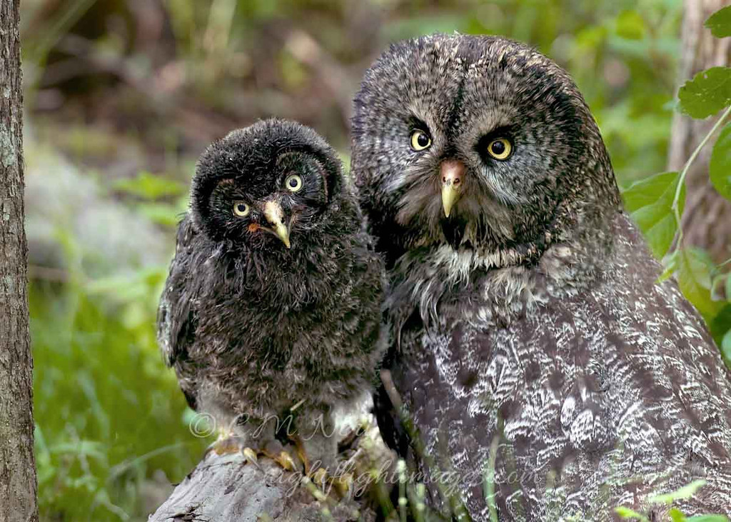 """Great Gray Owls © 2010 C. M. Neri. Chippewa County, MI GGOWM&J  <div class=""""ss-paypal-button""""><div class=""""ss-paypal-add-to-cart-section""""><div class=""""ss-paypal-product-options""""><h4>Mat Sizes</h4><ul><li><a href=""""https://www.paypal.com/cgi-bin/webscr?cmd=_cart&business=T77V5VKCW4K2U&lc=US&item_name=Great%20Gray%20Owls%20%C2%A9%202010%20C.%20M.%20Neri.%20Chippewa%20County%2C%20MI%20GGOWM%26amp%3BJ&item_number=http%3A%2F%2Fwww.nightflightimages.com%2FGalleries-1%2FGGOW%2Fi-kqQ7MdV&button_subtype=products&no_note=0&cn=Add%20special%20instructions%20to%20the%20seller%3A&no_shipping=2&currency_code=USD&weight_unit=lbs&add=1&bn=PP-ShopCartBF%3Abtn_cart_SM.gif%3ANonHosted&on0=Mat%20Sizes&option_select0=5%20x%207&option_amount0=10.00&option_select1=8%20x%2010&option_amount1=18.00&option_select2=11%20x%2014&option_amount2=28.00&option_select3=card&option_amount3=4.00&option_index=0&charset=utf-8&submit=&os0=5%20x%207"""" target=""""paypal""""><span>5 x 7 $11.00 USD</span><img src=""""https://www.paypalobjects.com/en_US/i/btn/btn_cart_SM.gif""""></a></li><li><a href=""""https://www.paypal.com/cgi-bin/webscr?cmd=_cart&business=T77V5VKCW4K2U&lc=US&item_name=Great%20Gray%20Owls%20%C2%A9%202010%20C.%20M.%20Neri.%20Chippewa%20County%2C%20MI%20GGOWM%26amp%3BJ&item_number=http%3A%2F%2Fwww.nightflightimages.com%2FGalleries-1%2FGGOW%2Fi-kqQ7MdV&button_subtype=products&no_note=0&cn=Add%20special%20instructions%20to%20the%20seller%3A&no_shipping=2&currency_code=USD&weight_unit=lbs&add=1&bn=PP-ShopCartBF%3Abtn_cart_SM.gif%3ANonHosted&on0=Mat%20Sizes&option_select0=5%20x%207&option_amount0=10.00&option_select1=8%20x%2010&option_amount1=18.00&option_select2=11%20x%2014&option_amount2=28.00&option_select3=card&option_amount3=4.00&option_index=0&charset=utf-8&submit=&os0=8%20x%2010"""" target=""""paypal""""><span>8 x 10 $19.00 USD</span><img src=""""https://www.paypalobjects.com/en_US/i/btn/btn_cart_SM.gif""""></a></li><li><a href=""""https://www.paypal.com/cgi-bin/webscr?cmd=_cart&business=T77V5VKCW4K2U&lc=US&item_name=Great%20"""