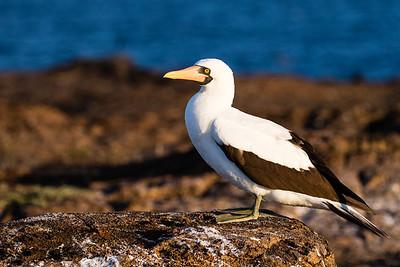 2016 Genovesa, Galapagos Islands, Ecuador