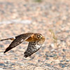 "Northern Harrier © 2008 C. M. Neri Whitefish Point, MI NOHAWP  <div class=""ss-paypal-button""><div class=""ss-paypal-add-to-cart-section""><div class=""ss-paypal-product-options""><h4>Mat Sizes</h4><ul><li><a href=""https://www.paypal.com/cgi-bin/webscr?cmd=_cart&business=T77V5VKCW4K2U&lc=US&item_name=Northern%20Harrier%20%C2%A9%202008%20C.%20M.%20Neri%20Whitefish%20Point%2C%20MI%20NOHAWP&item_number=http%3A%2F%2Fwww.nightflightimages.com%2FGalleries-1%2FHawks%2Fi-2H94HSb&button_subtype=products&no_note=0&cn=Add%20special%20instructions%20to%20the%20seller%3A&no_shipping=2&currency_code=USD&weight_unit=lbs&add=1&bn=PP-ShopCartBF%3Abtn_cart_SM.gif%3ANonHosted&on0=Mat%20Sizes&option_select0=5%20x%207&option_amount0=10.00&option_select1=8%20x%2010&option_amount1=18.00&option_select2=11%20x%2014&option_amount2=28.00&option_select3=card&option_amount3=4.00&option_index=0&charset=utf-8&submit=&os0=5%20x%207"" target=""paypal""><span>5 x 7 $11.00 USD</span><img src=""https://www.paypalobjects.com/en_US/i/btn/btn_cart_SM.gif""></a></li><li><a href=""https://www.paypal.com/cgi-bin/webscr?cmd=_cart&business=T77V5VKCW4K2U&lc=US&item_name=Northern%20Harrier%20%C2%A9%202008%20C.%20M.%20Neri%20Whitefish%20Point%2C%20MI%20NOHAWP&item_number=http%3A%2F%2Fwww.nightflightimages.com%2FGalleries-1%2FHawks%2Fi-2H94HSb&button_subtype=products&no_note=0&cn=Add%20special%20instructions%20to%20the%20seller%3A&no_shipping=2&currency_code=USD&weight_unit=lbs&add=1&bn=PP-ShopCartBF%3Abtn_cart_SM.gif%3ANonHosted&on0=Mat%20Sizes&option_select0=5%20x%207&option_amount0=10.00&option_select1=8%20x%2010&option_amount1=18.00&option_select2=11%20x%2014&option_amount2=28.00&option_select3=card&option_amount3=4.00&option_index=0&charset=utf-8&submit=&os0=8%20x%2010"" target=""paypal""><span>8 x 10 $19.00 USD</span><img src=""https://www.paypalobjects.com/en_US/i/btn/btn_cart_SM.gif""></a></li><li><a href=""https://www.paypal.com/cgi-bin/webscr?cmd=_cart&business=T77V5VKCW4K2U&lc=US&item_name=Northern%20Harrier%20%C2%A9%202008%20C.%20M.%20Neri%20Whitefish%20Point%2C%20MI%20NOHAWP&item_number=http%3A%2F%2Fwww.nightflightimages.com%2FGalleries-1%2FHawks%2Fi-2H94HSb&button_subtype=products&no_note=0&cn=Add%20special%20instructions%20to%20the%20seller%3A&no_shipping=2&currency_code=USD&weight_unit=lbs&add=1&bn=PP-ShopCartBF%3Abtn_cart_SM.gif%3ANonHosted&on0=Mat%20Sizes&option_select0=5%20x%207&option_amount0=10.00&option_select1=8%20x%2010&option_amount1=18.00&option_select2=11%20x%2014&option_amount2=28.00&option_select3=card&option_amount3=4.00&option_index=0&charset=utf-8&submit=&os0=11%20x%2014"" target=""paypal""><span>11 x 14 $29.00 USD</span><img src=""https://www.paypalobjects.com/en_US/i/btn/btn_cart_SM.gif""></a></li><li><a href=""https://www.paypal.com/cgi-bin/webscr?cmd=_cart&business=T77V5VKCW4K2U&lc=US&item_name=Northern%20Harrier%20%C2%A9%202008%20C.%20M.%20Neri%20Whitefish%20Point%2C%20MI%20NOHAWP&item_number=http%3A%2F%2Fwww.nightflightimages.com%2FGalleries-1%2FHawks%2Fi-2H94HSb&button_subtype=products&no_note=0&cn=Add%20special%20instructions%20to%20the%20seller%3A&no_shipping=2&currency_code=USD&weight_unit=lbs&add=1&bn=PP-ShopCartBF%3Abtn_cart_SM.gif%3ANonHosted&on0=Mat%20Sizes&option_select0=5%20x%207&option_amount0=10.00&option_select1=8%20x%2010&option_amount1=18.00&option_select2=11%20x%2014&option_amount2=28.00&option_select3=card&option_amount3=4.00&option_index=0&charset=utf-8&submit=&os0=card"" target=""paypal""><span>card $5.00 USD</span><img src=""https://www.paypalobjects.com/en_US/i/btn/btn_cart_SM.gif""></a></li></ul></div></div> <div class=""ss-paypal-view-cart-section""><a href=""https://www.paypal.com/cgi-bin/webscr?cmd=_cart&business=T77V5VKCW4K2U&display=1&item_name=Northern%20Harrier%20%C2%A9%202008%20C.%20M.%20Neri%20Whitefish%20Point%2C%20MI%20NOHAWP&item_number=http%3A%2F%2Fwww.nightflightimages.com%2FGalleries-1%2FHawks%2Fi-2H94HSb&charset=utf-8&submit="" target=""paypal"" class=""ss-paypal-submit-button""><img src=""https://www.paypalobjects.com/en_US/i/btn/btn_viewcart_LG.gif""></a></div></div><div class=""ss-paypal-button-end""></div>"